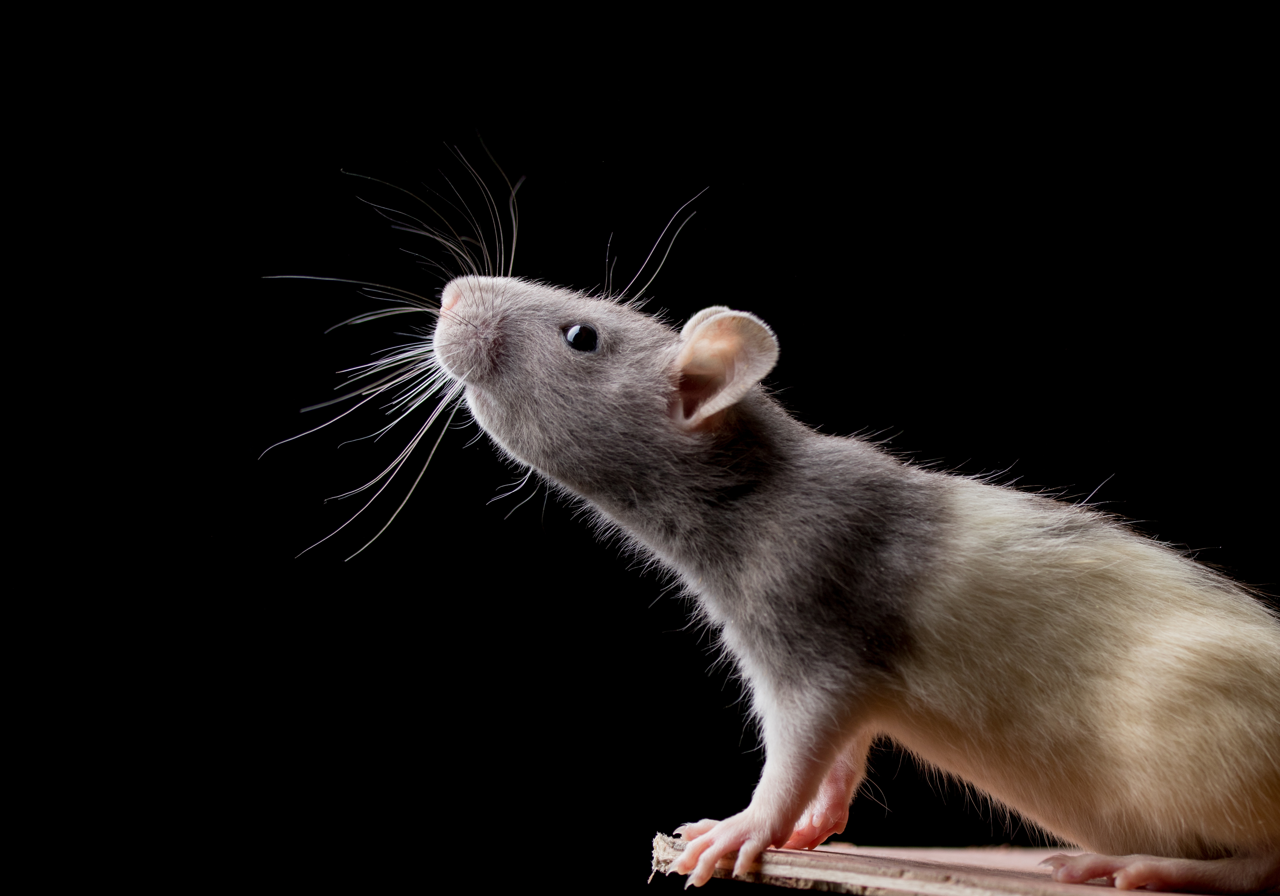 Do Sound Repellent Devices Really Keep Rodents Away? | Home