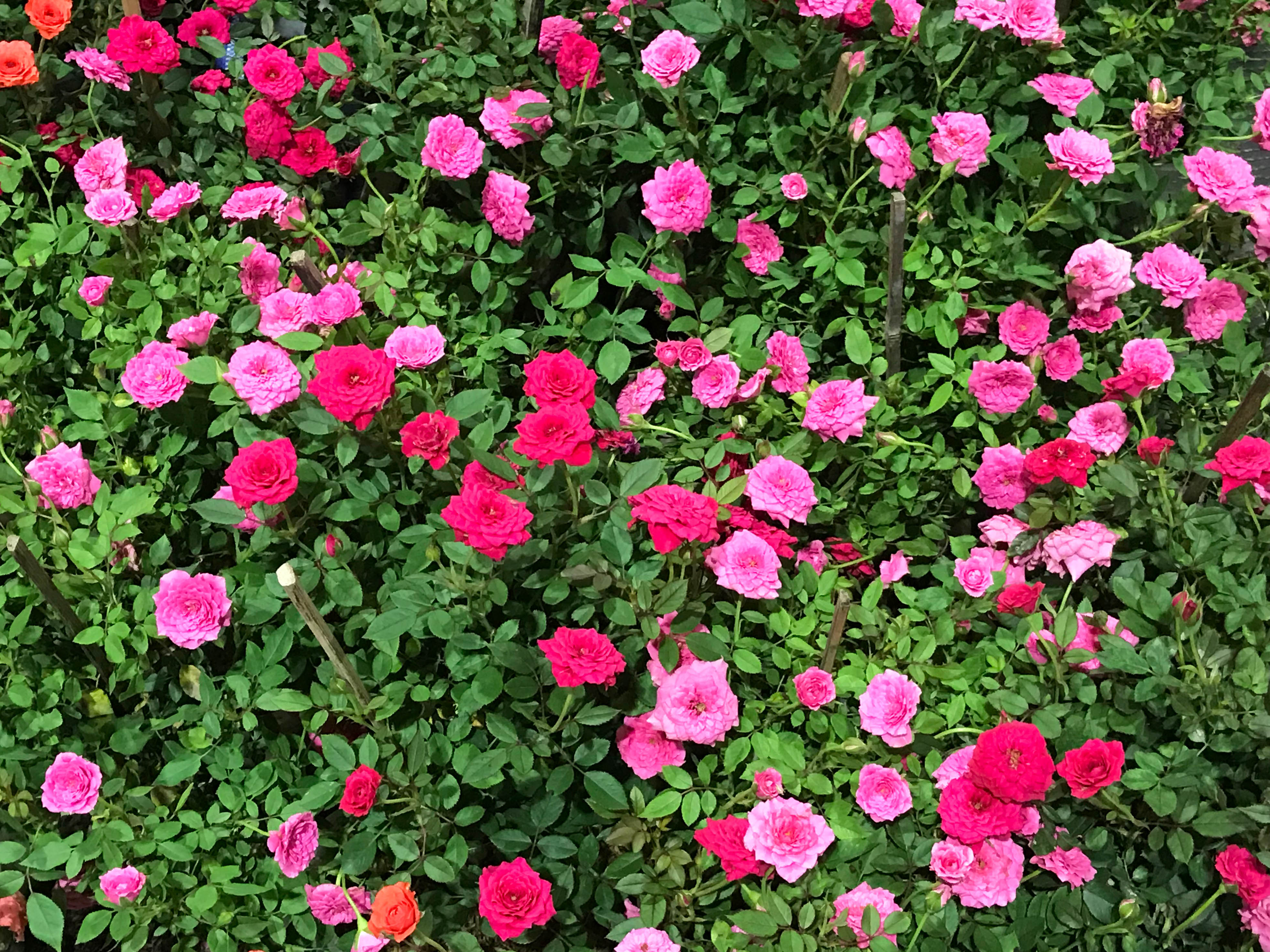 How To Care For Dying Indoor Parade Roses Home Guides Sf Gate