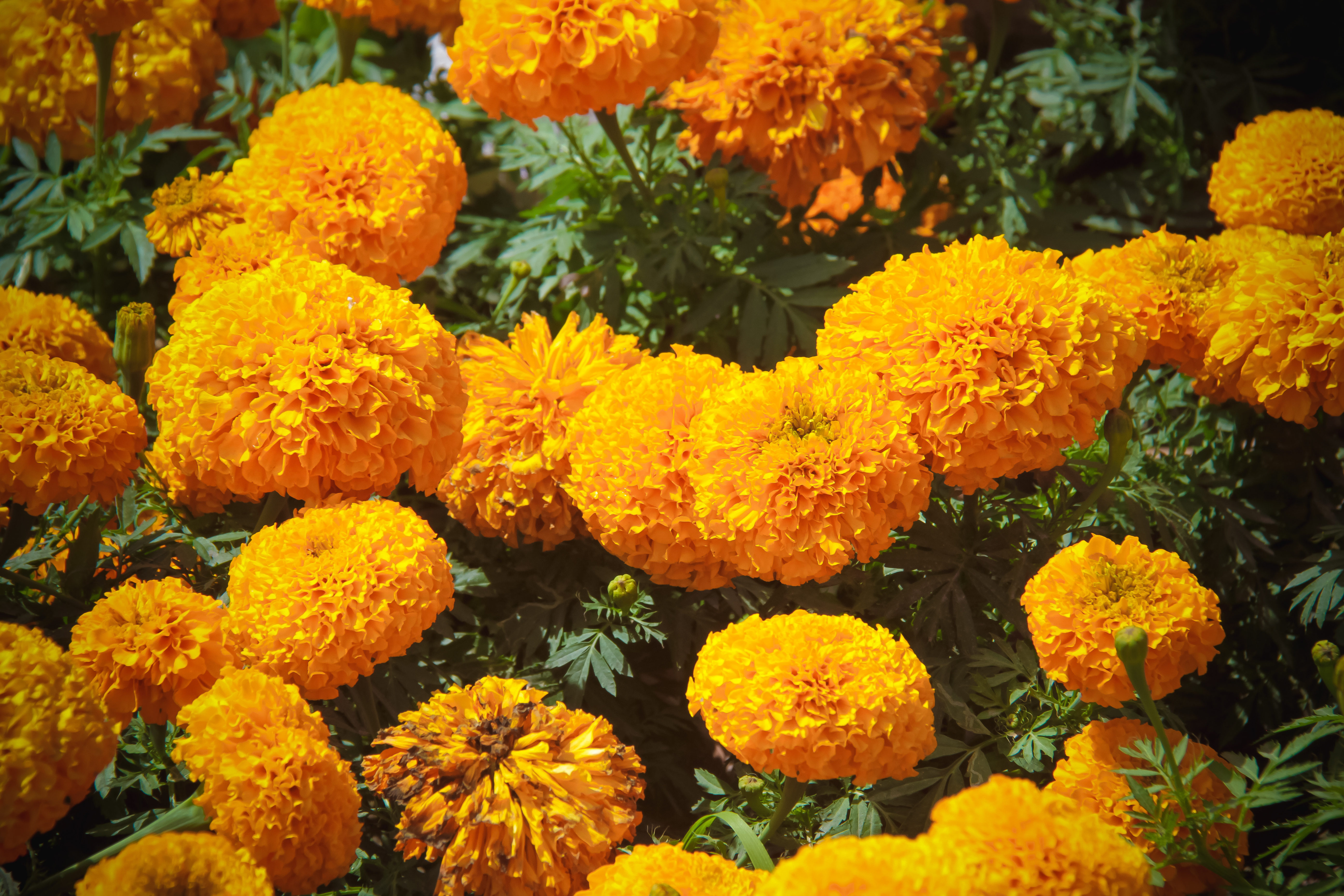 How Long Does It Take Marigolds to Germinate?   Home Guides