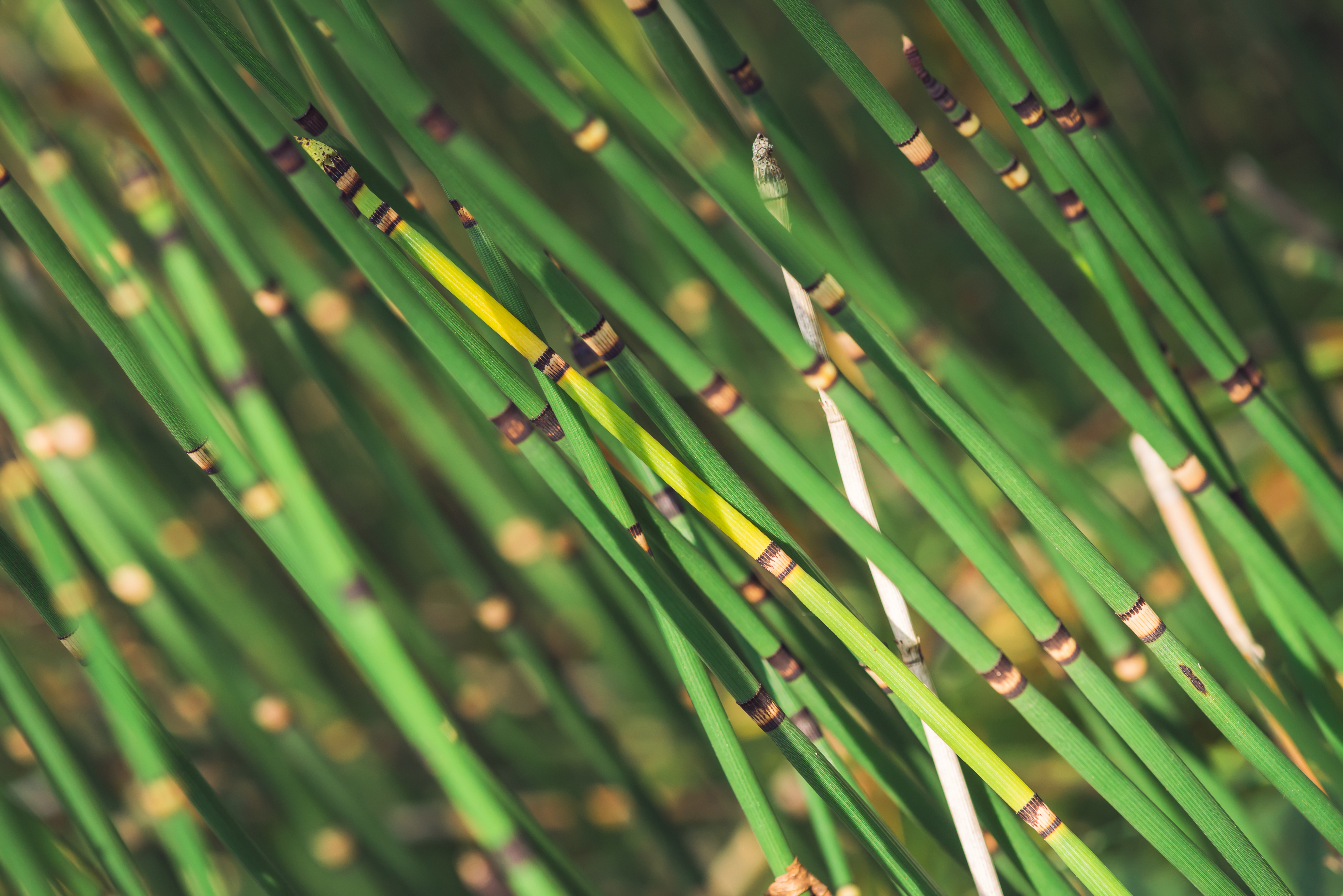 Bamboo Vs Horsetail Reed Home Guides Sf Gate