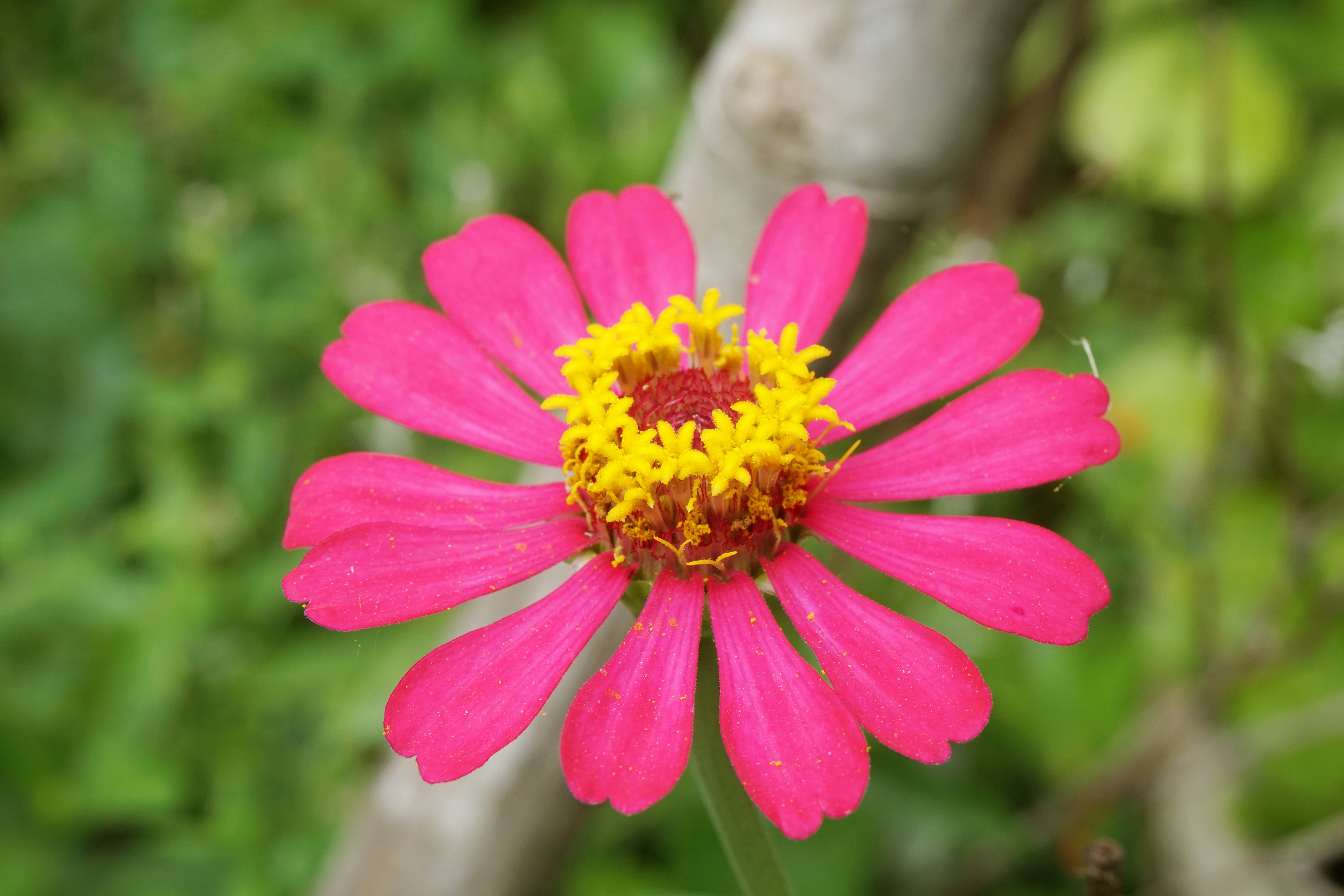 How To Collect Seeds From Zinnia Flowers Home Guides Sf Gate