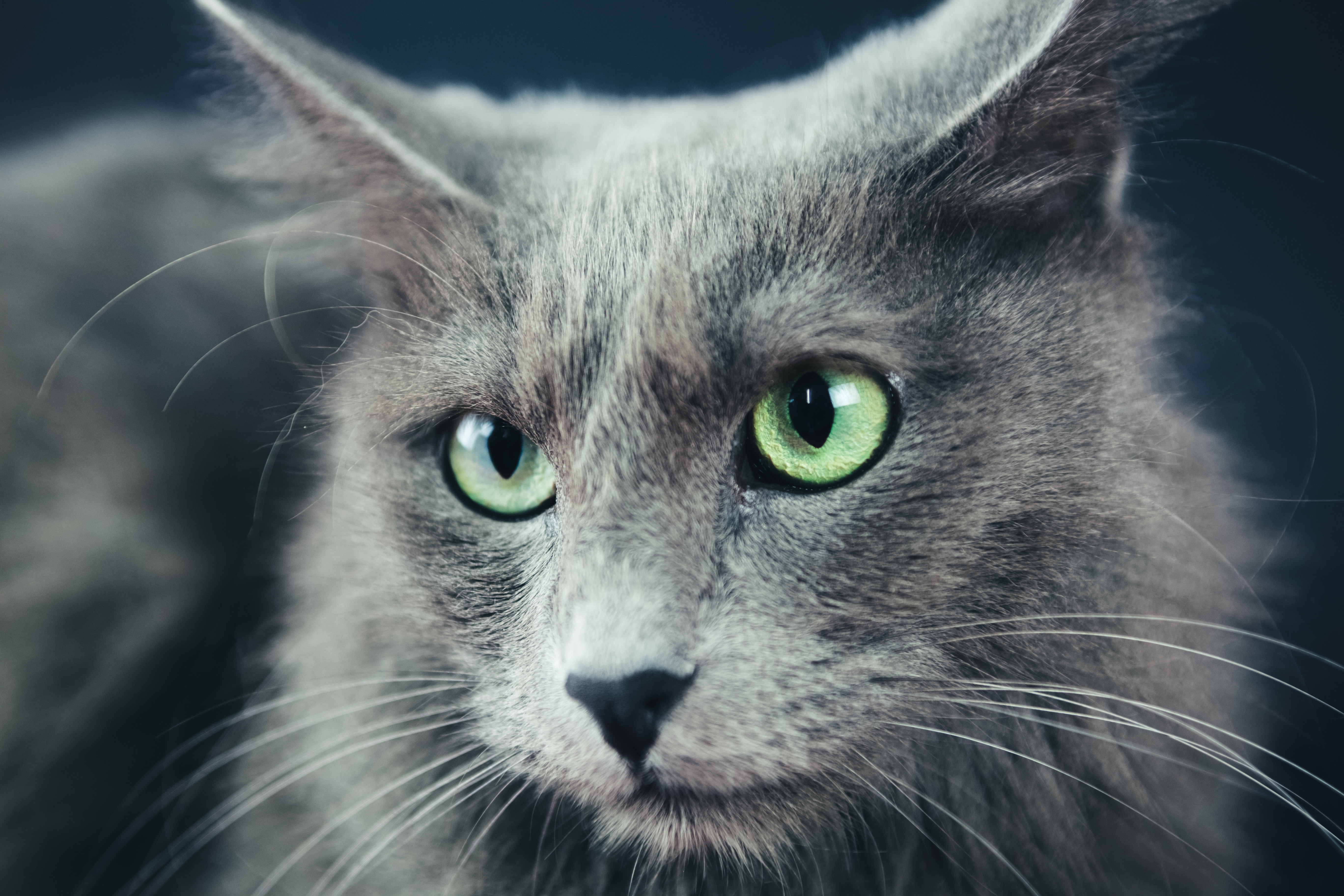 How To Identify A Nebelung Cat Cuteness