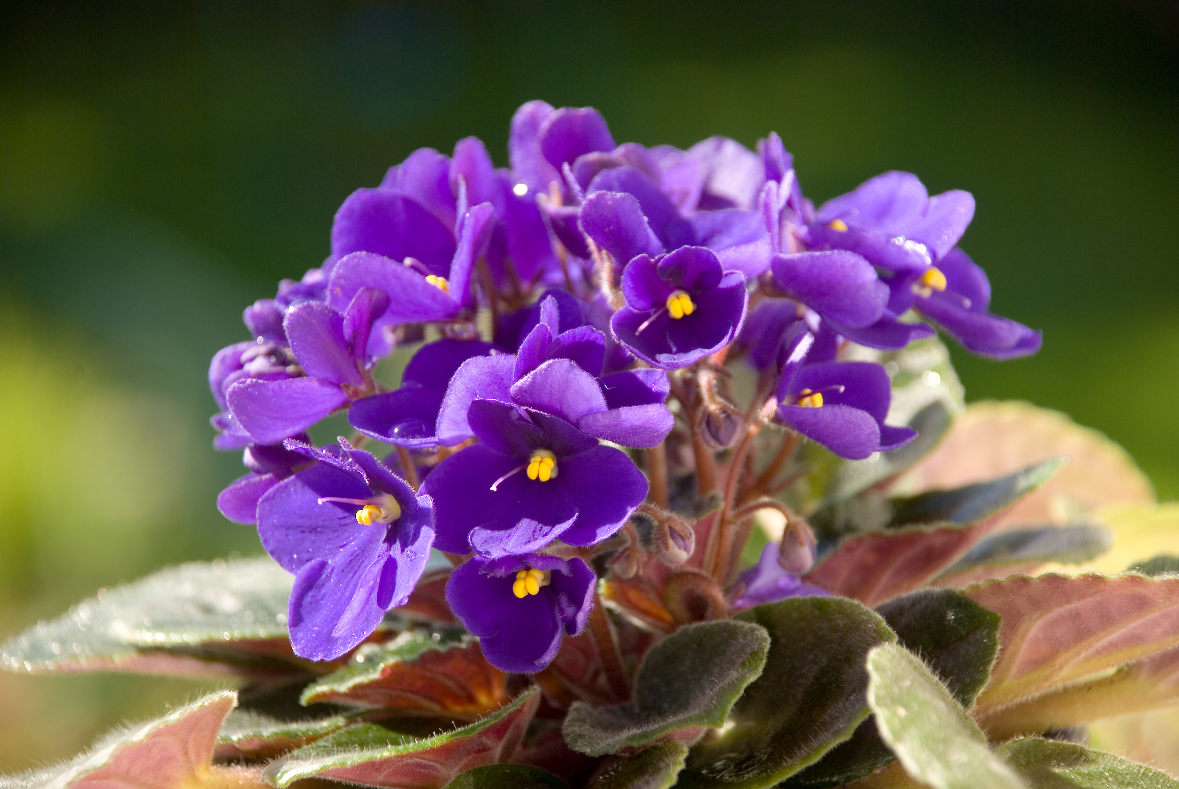 Can You Root an African Violet in Water? | Home Guides | SF Gate
