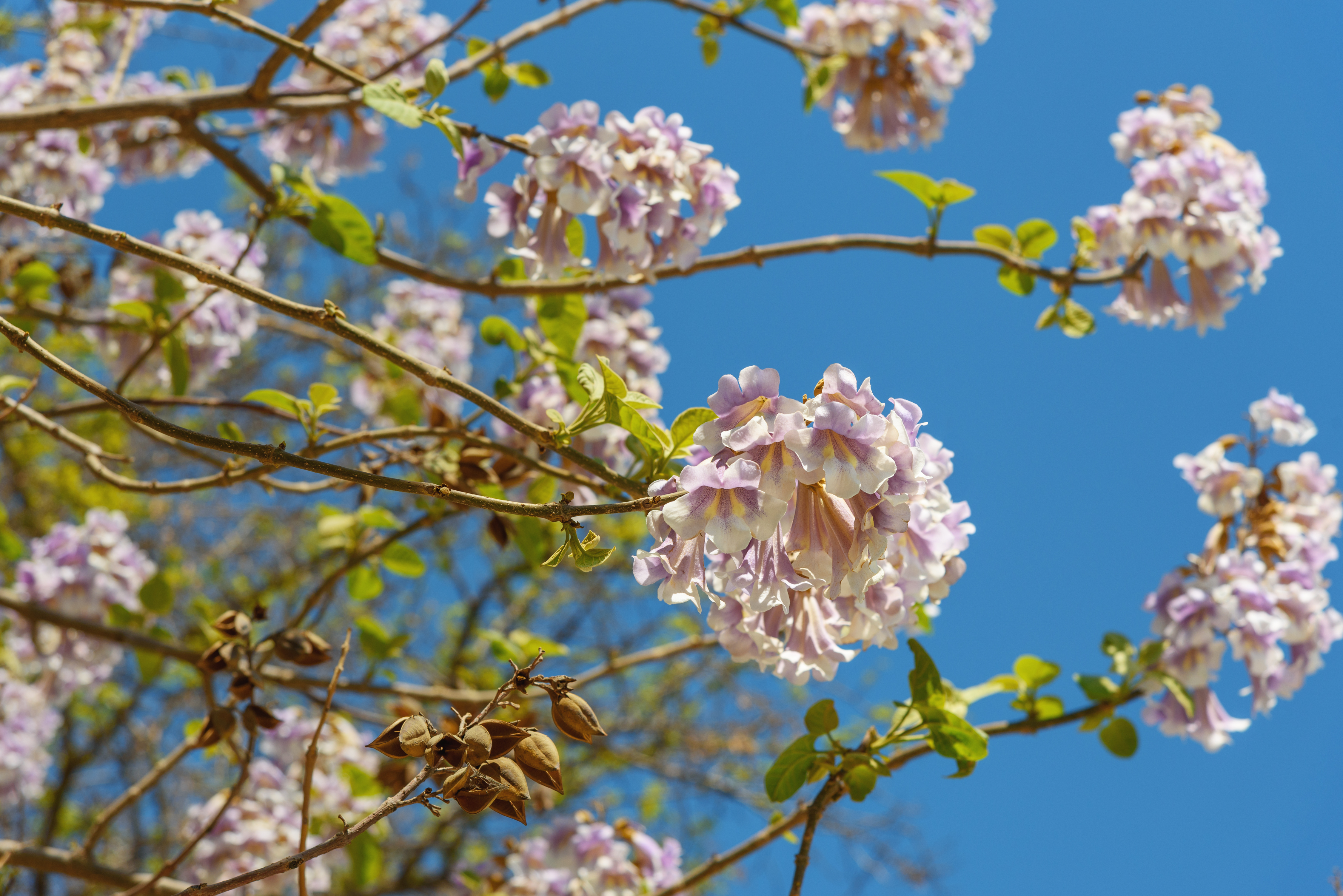 Pros Cons For Paulownia Trees Home Guides Sf Gate
