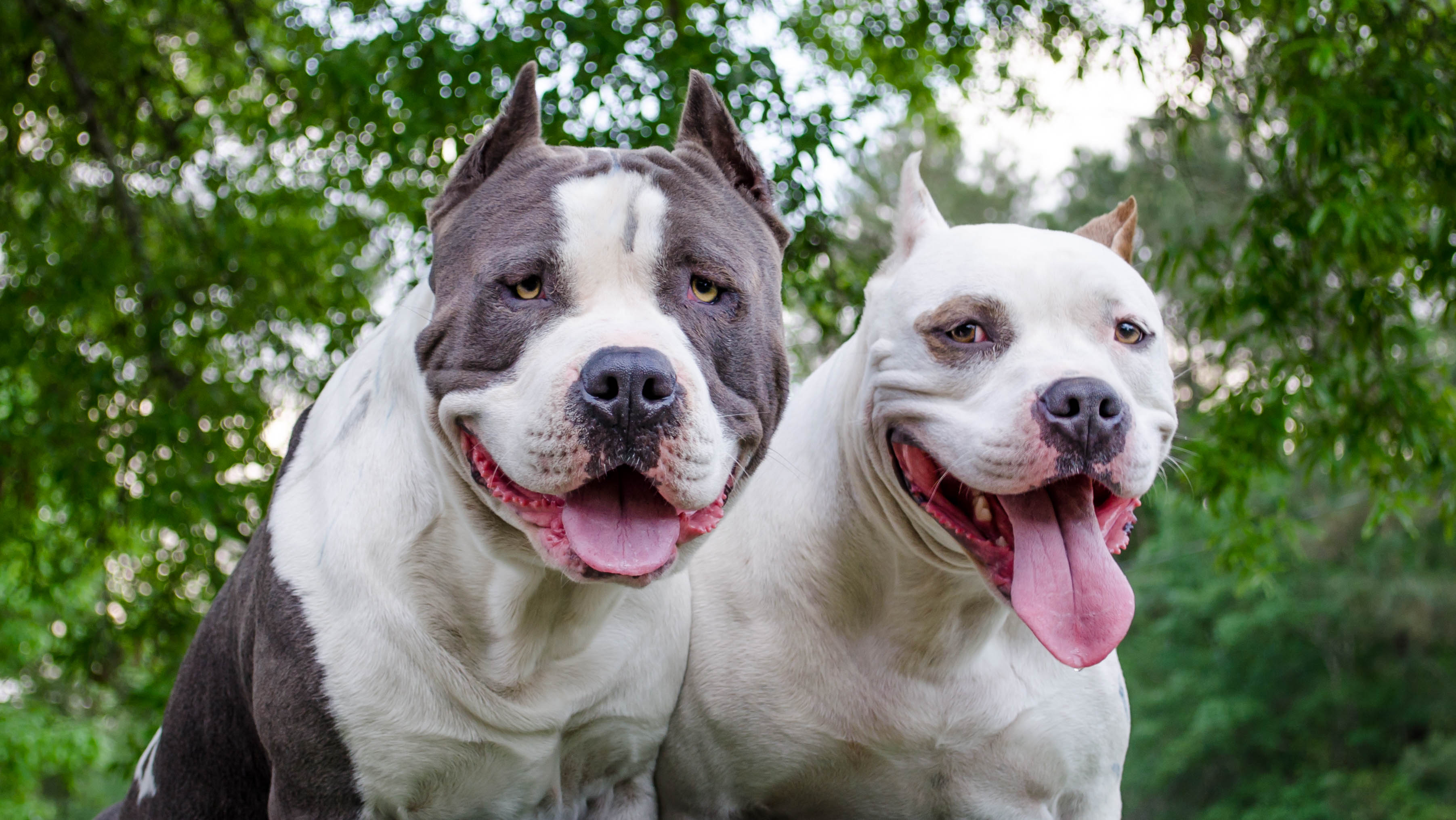 Difference Between a Pit Bull and a Staffordshire | Cuteness