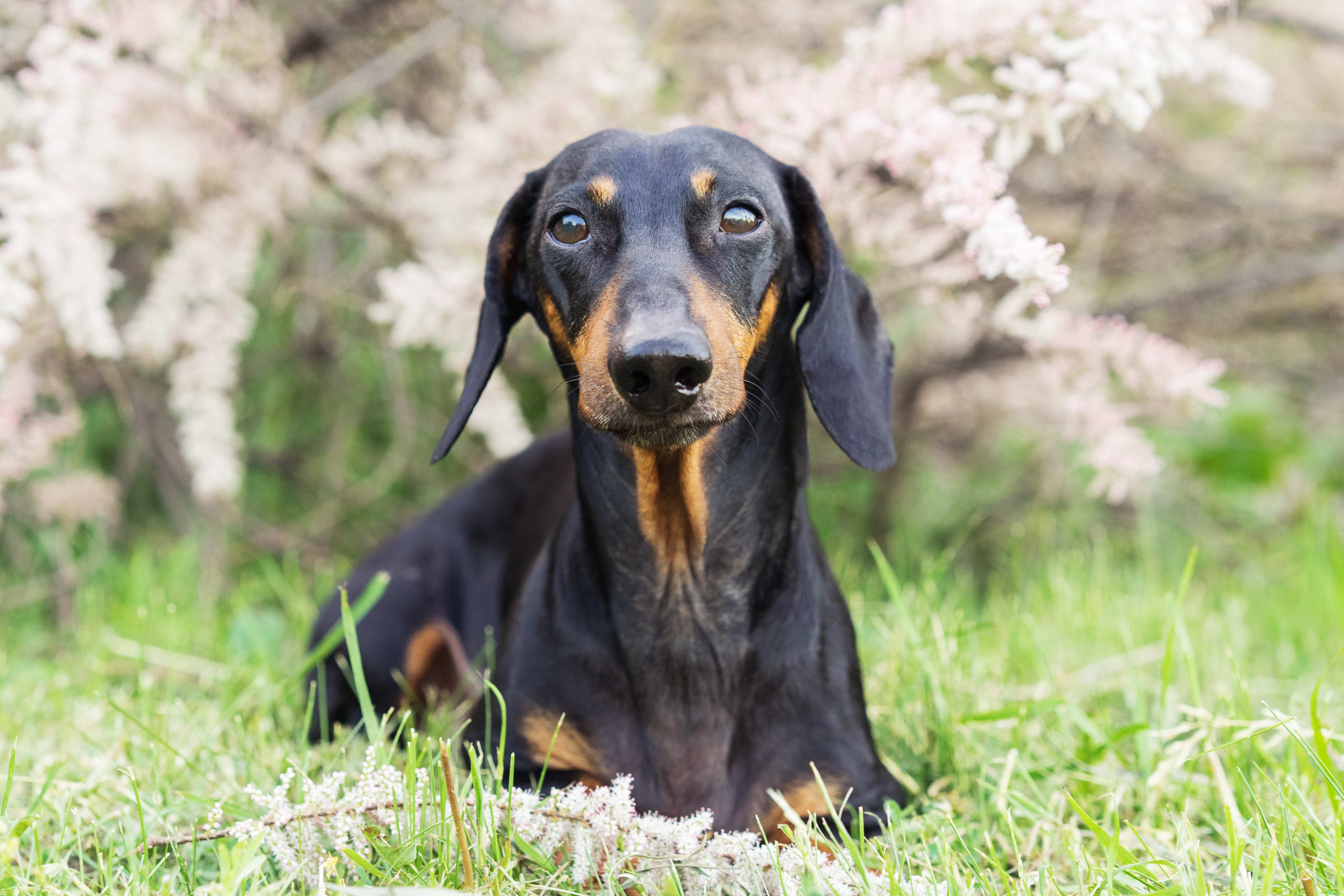 147 Names For Your Dachshund Cuteness