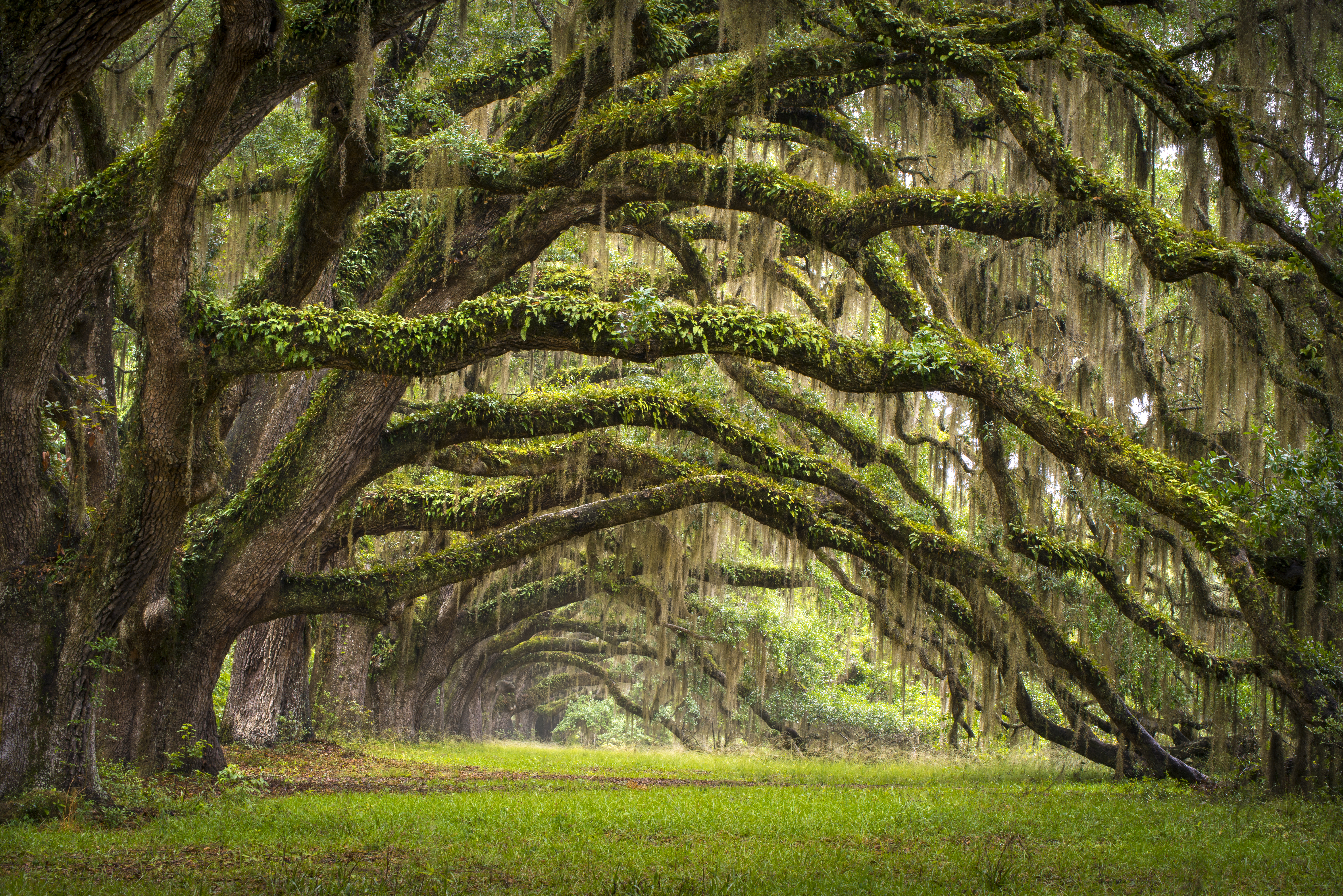615ef8a769f28 The Grass Won't Grow Under a Large Oak Tree | Home Guides | SF Gate