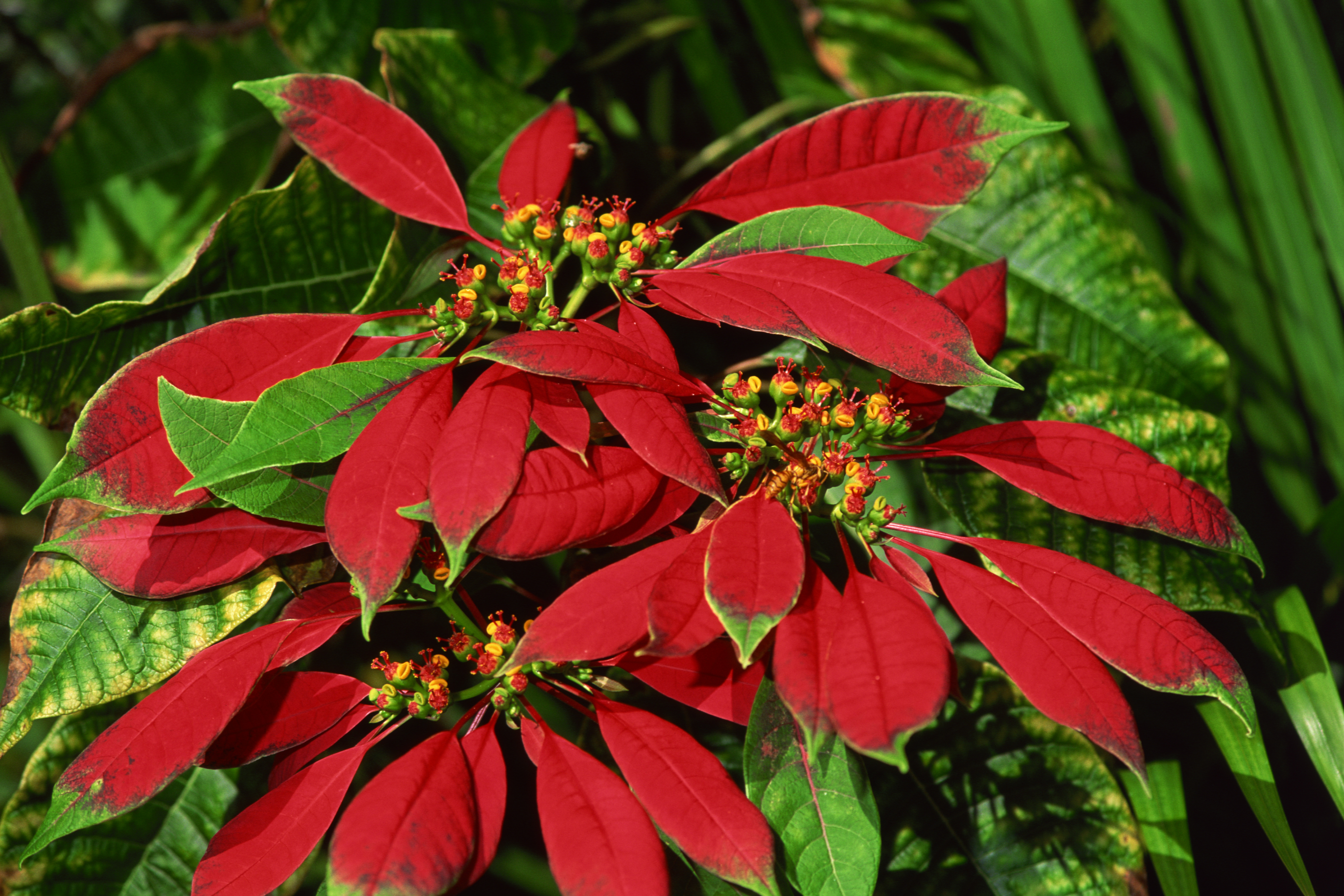 How To Make A Poinsettia S Leaves Turn Red Hunker