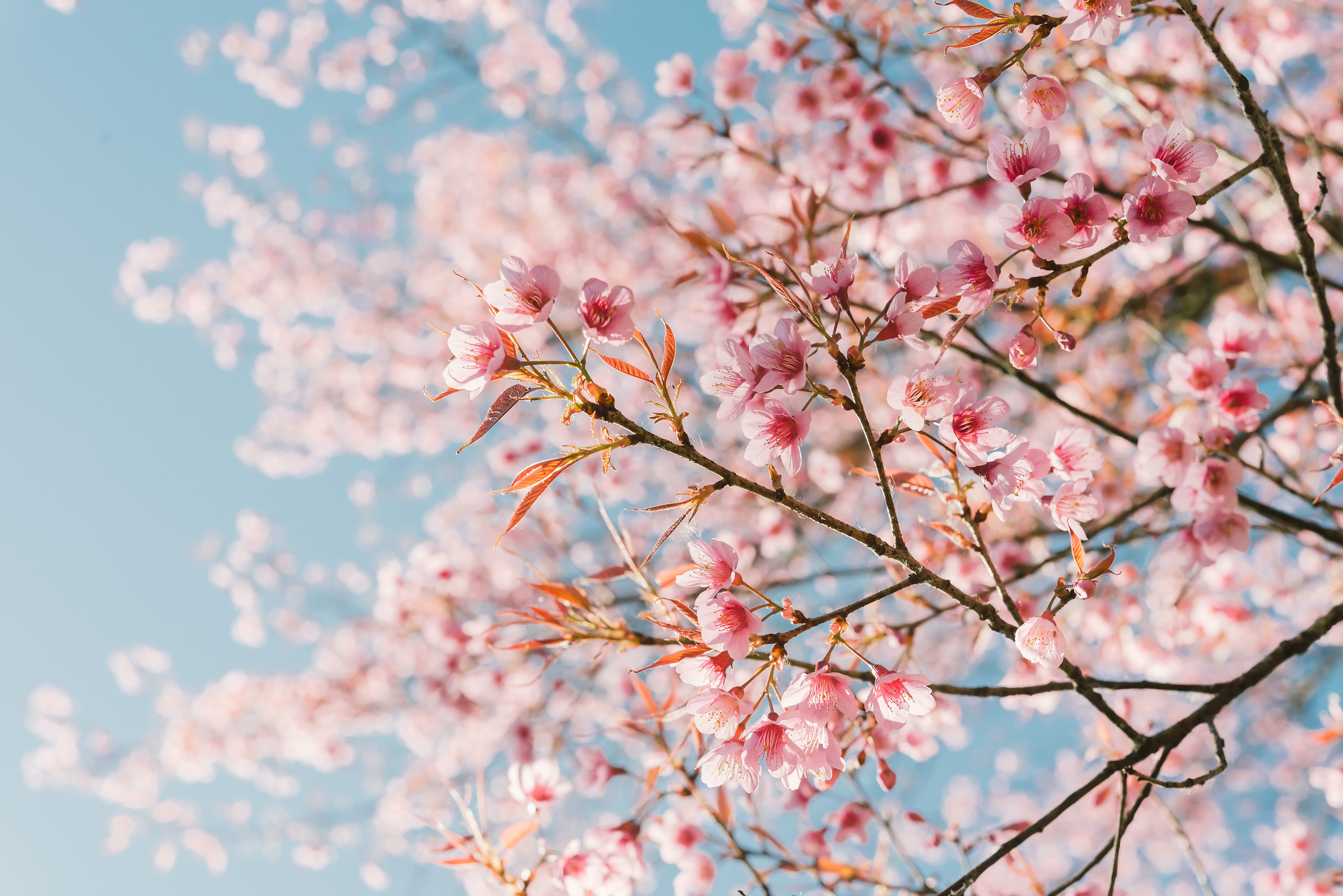 When Do Cherry Blossoms Bloom 10best