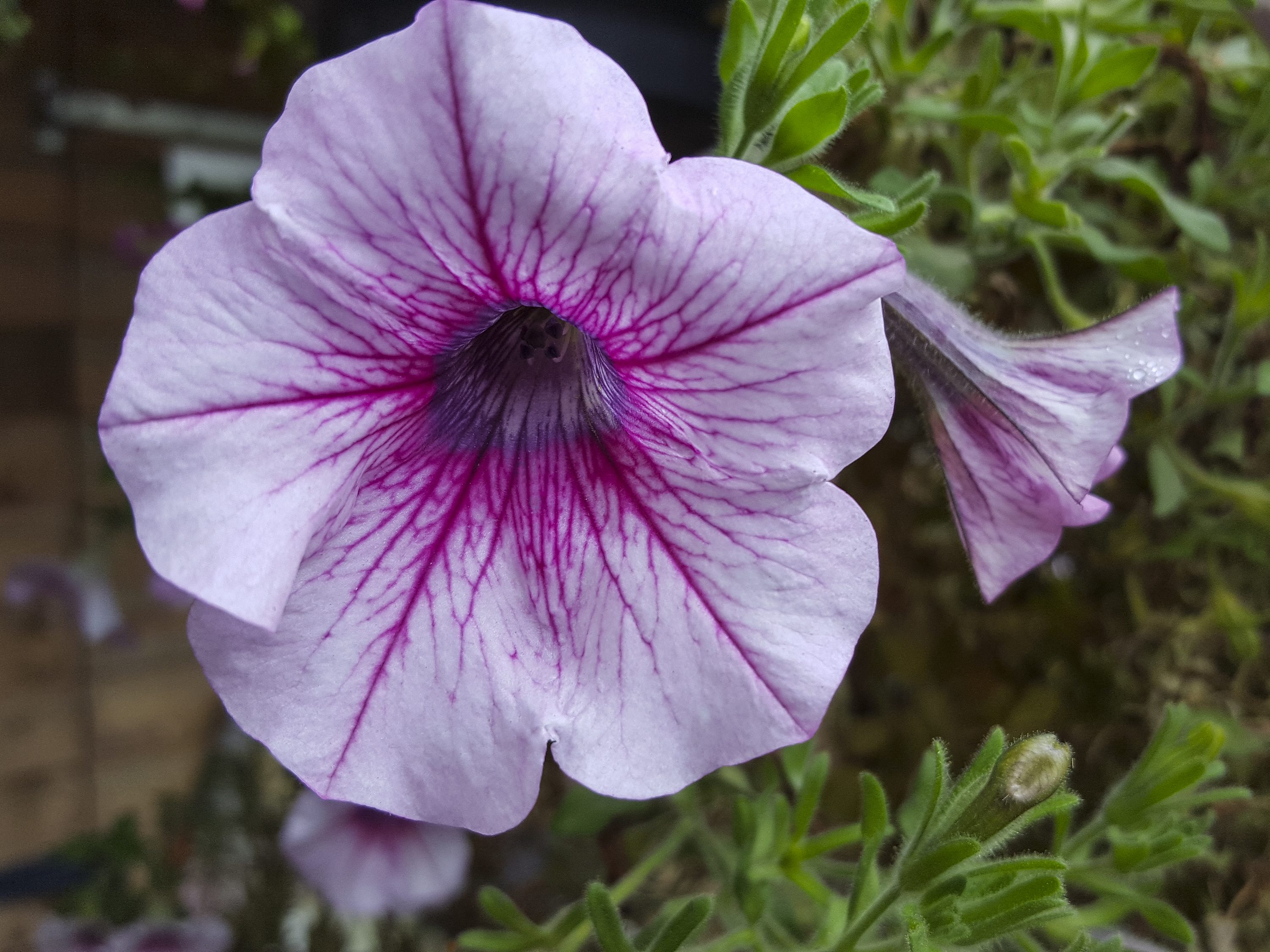 No Petunias Were Harmed In >> What Can I Spray On Petunias So Bugs Do Not Eat Them Home Guides
