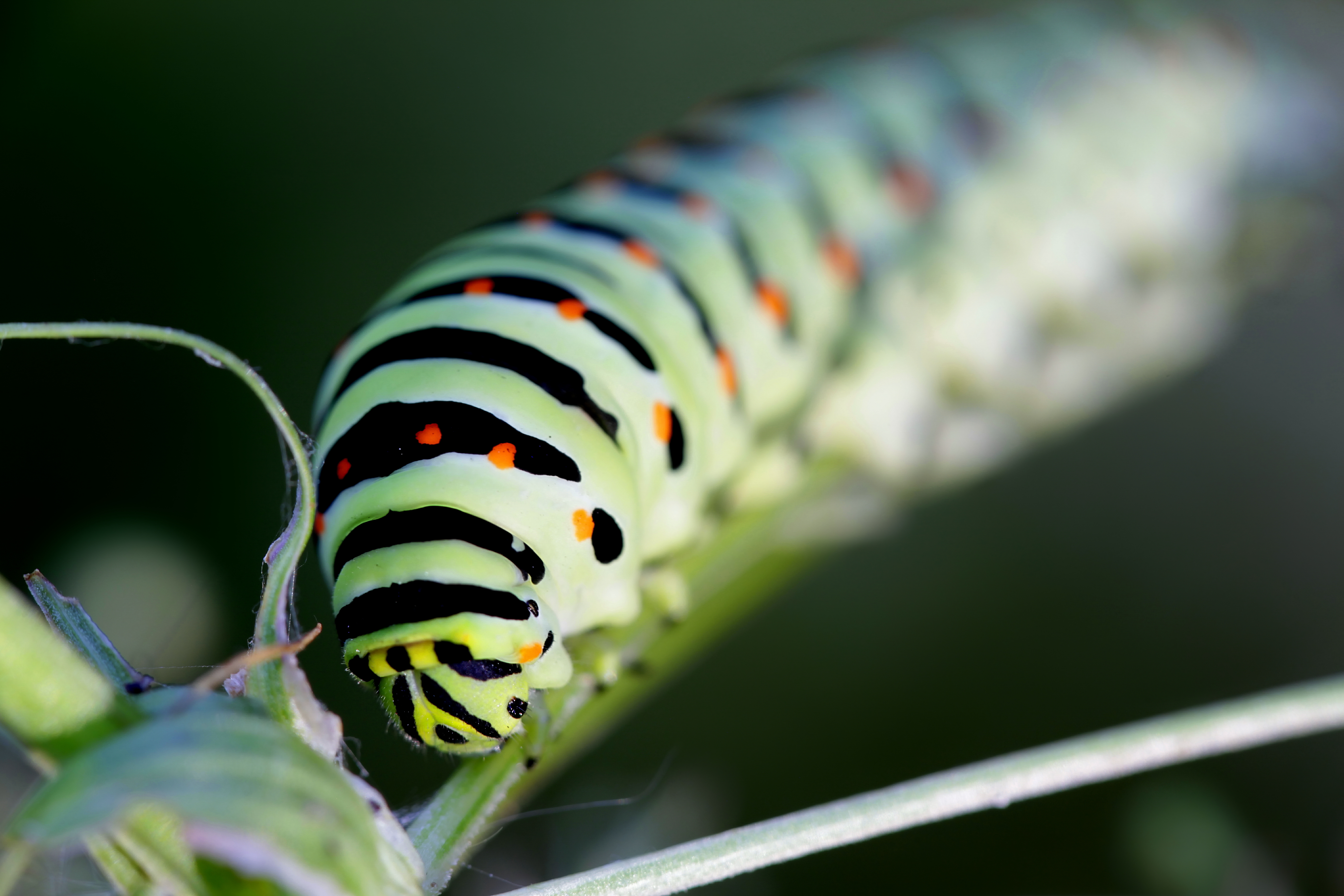Are Black Yellow Tree Caterpillars Poisonous Home