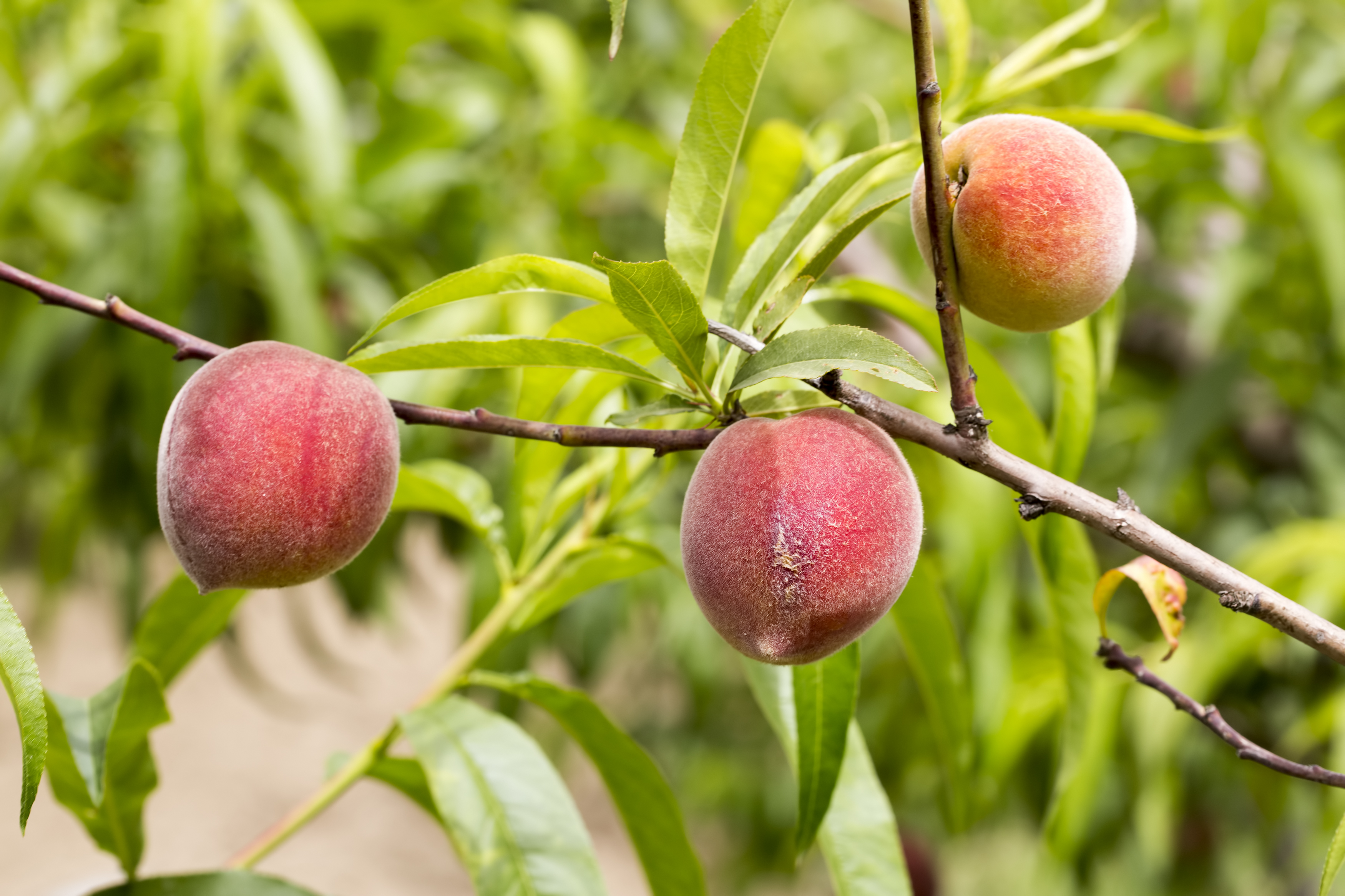 List of Types of Peach Trees | Home Guides | SF Gate