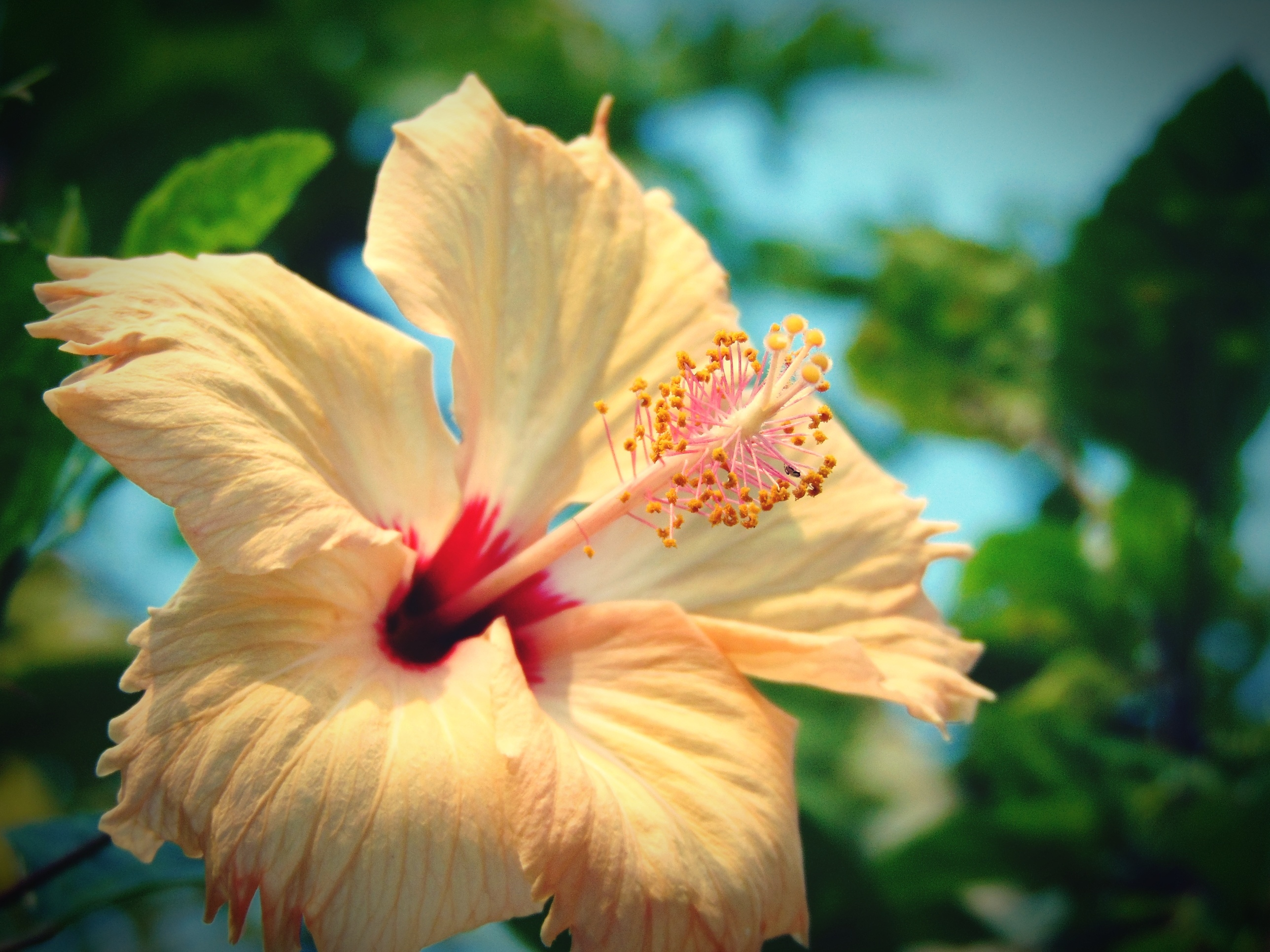 What Brand Fertilizer Should I Use For Hibiscus Home Guides Sf Gate