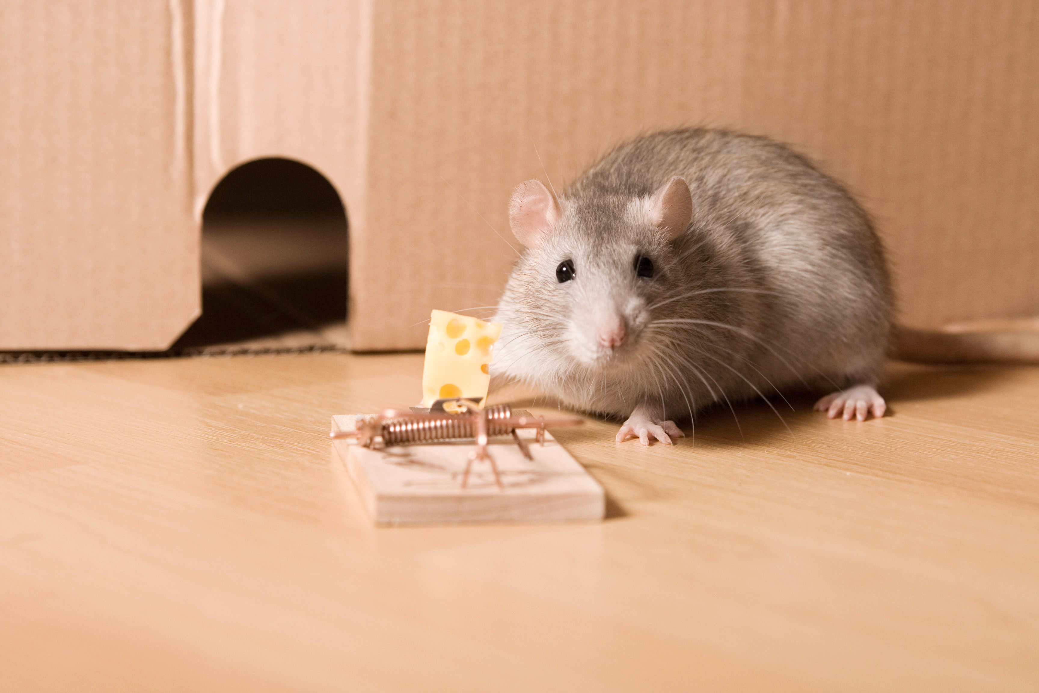How to Get Rid of a Mouse or Squirrel Inside a Wall | Home