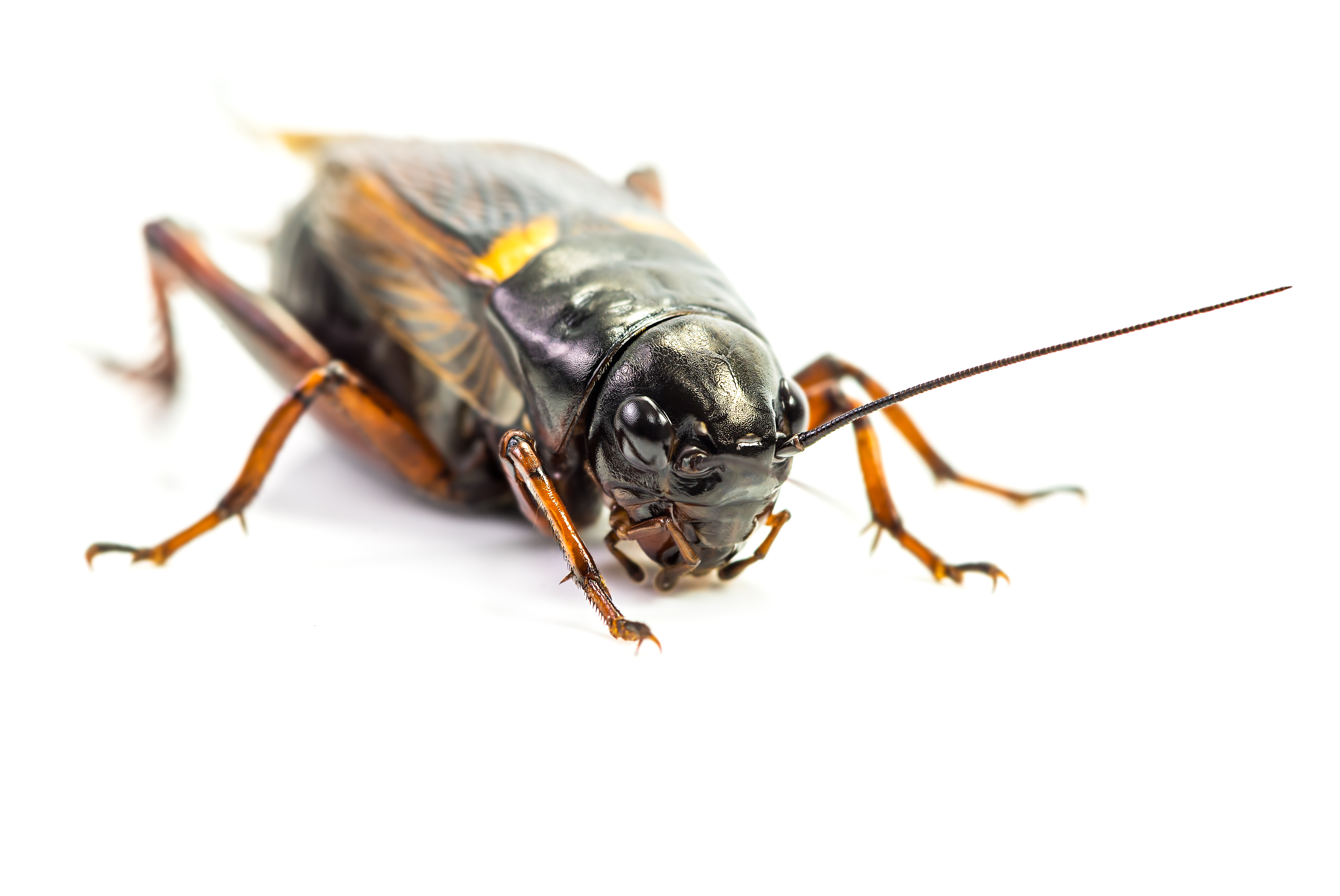 How to Stop a Cricket From Chirping at Night | Animals - mom me