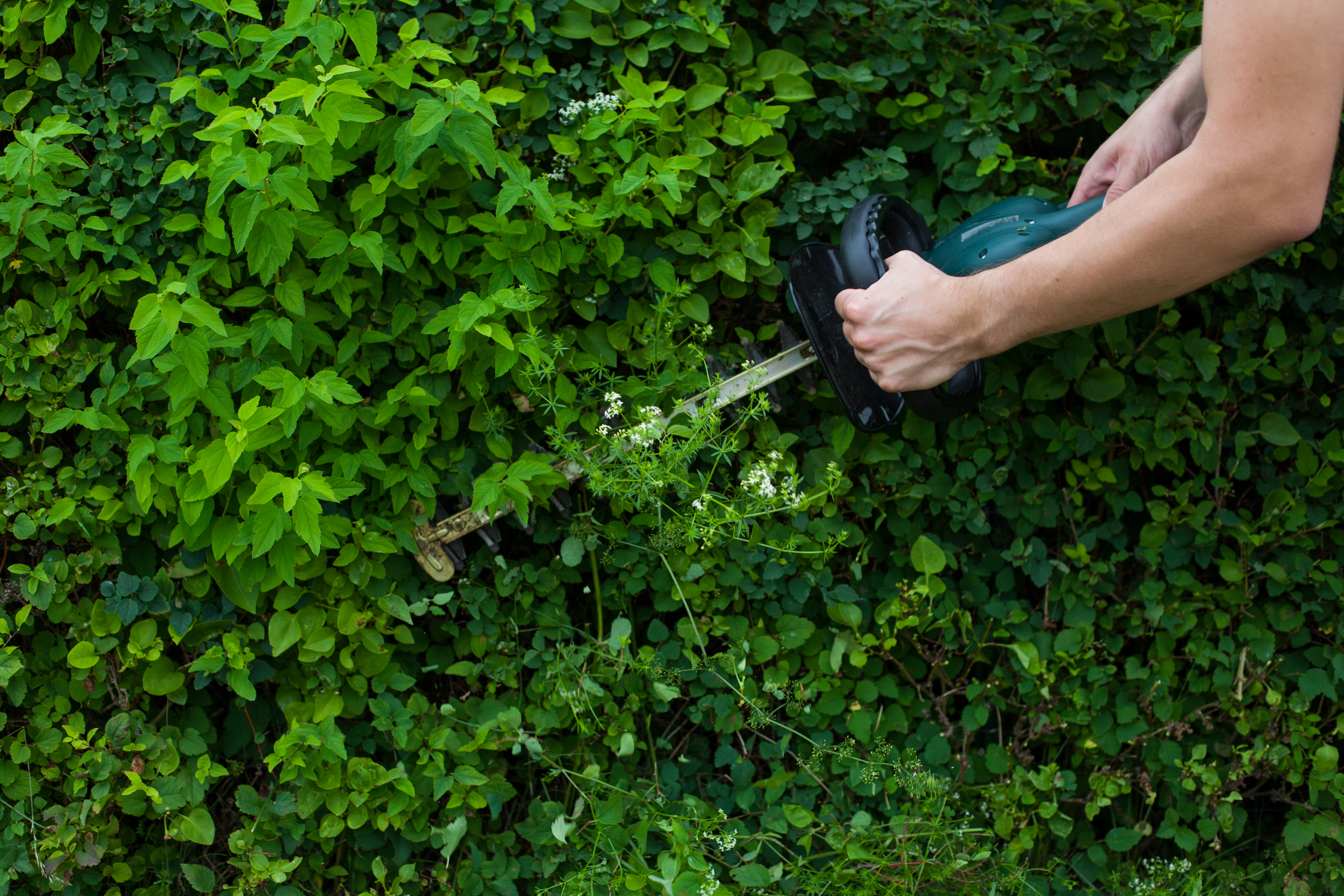 The Best Time to Trim a Privet Hedge | Home Guides | SF Gate