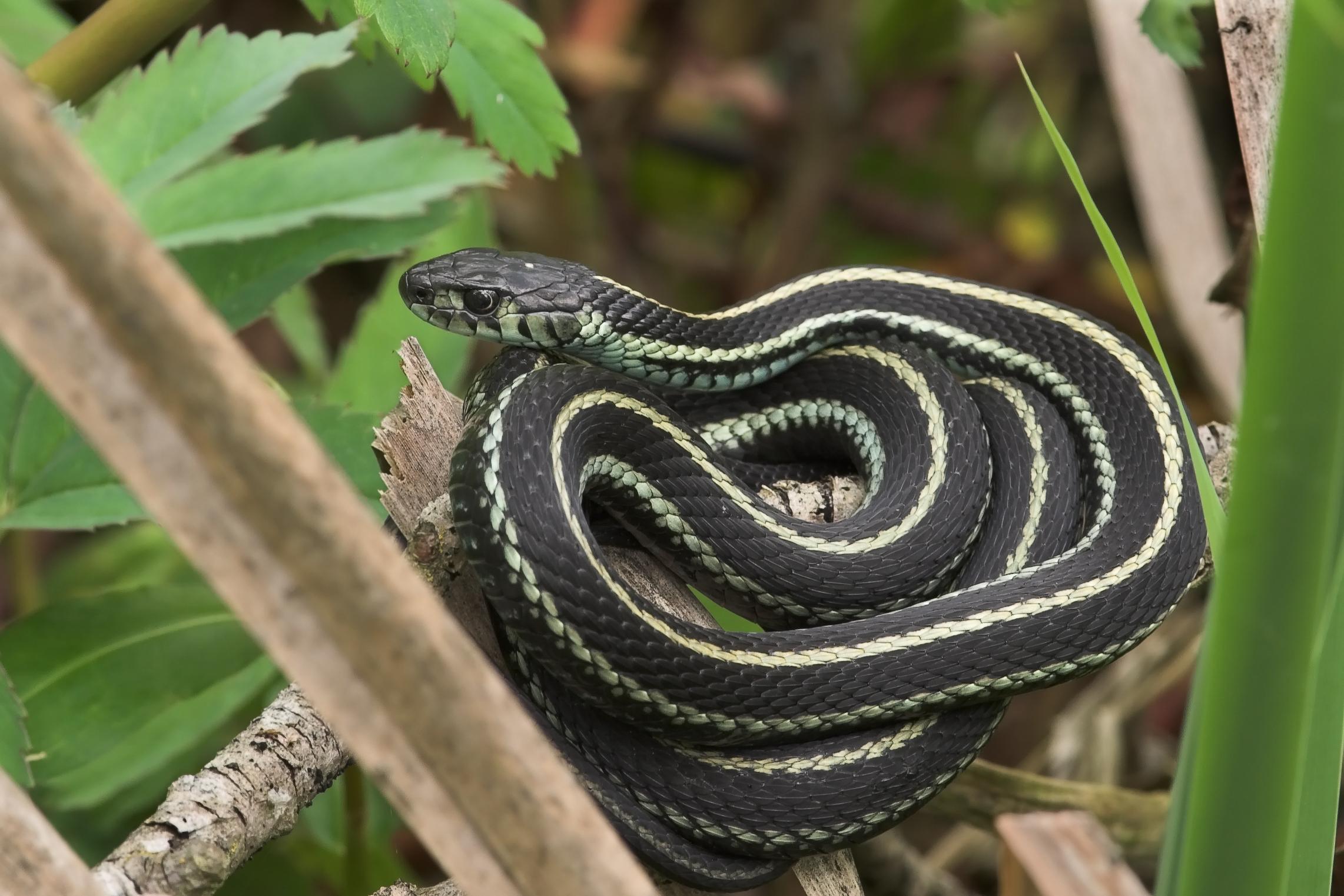 Difference Between A Garter Garden Snake