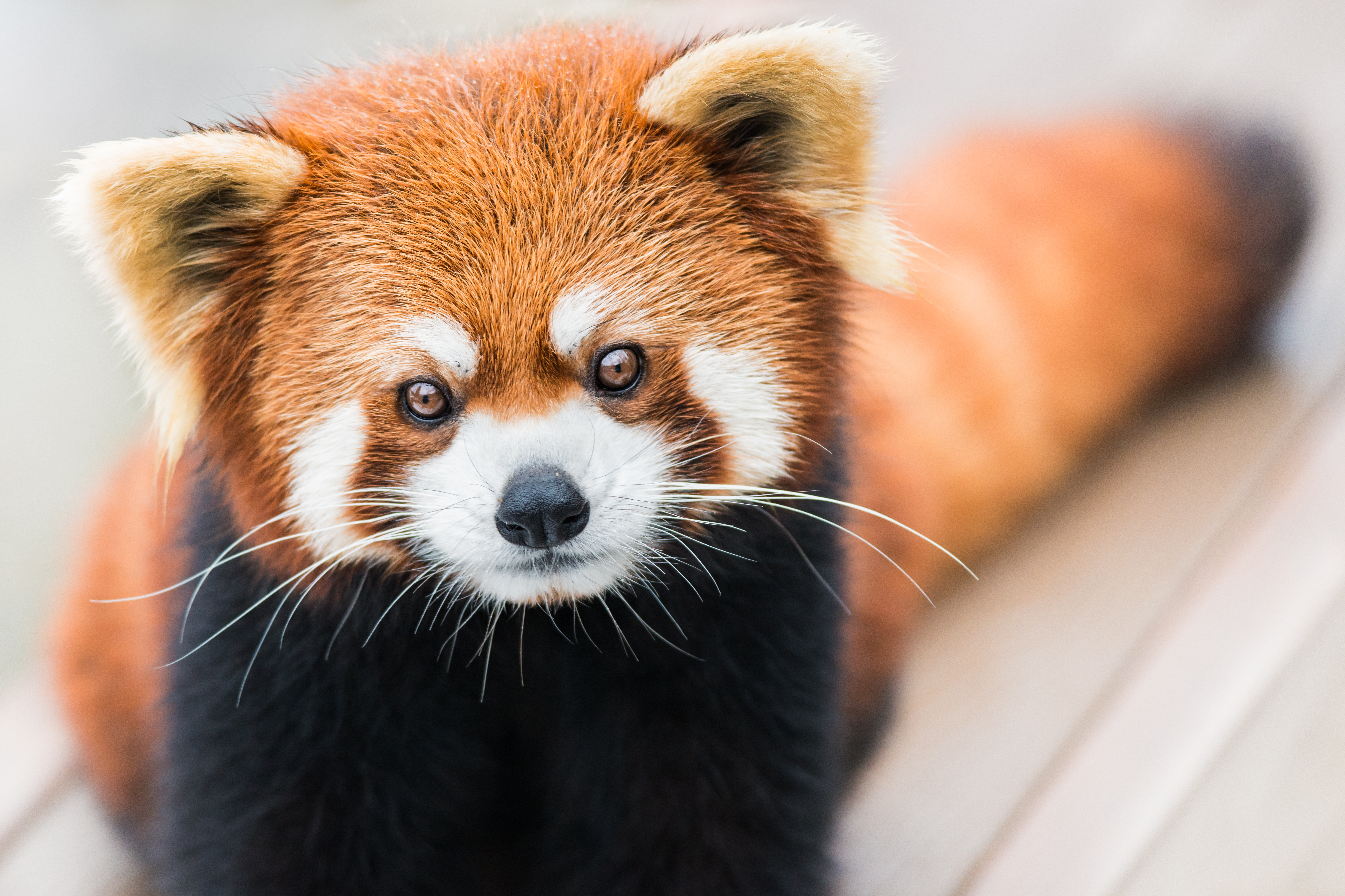 Image of: Habitat Science Sciencing Why Are The Red Pandas Endangered Sciencing