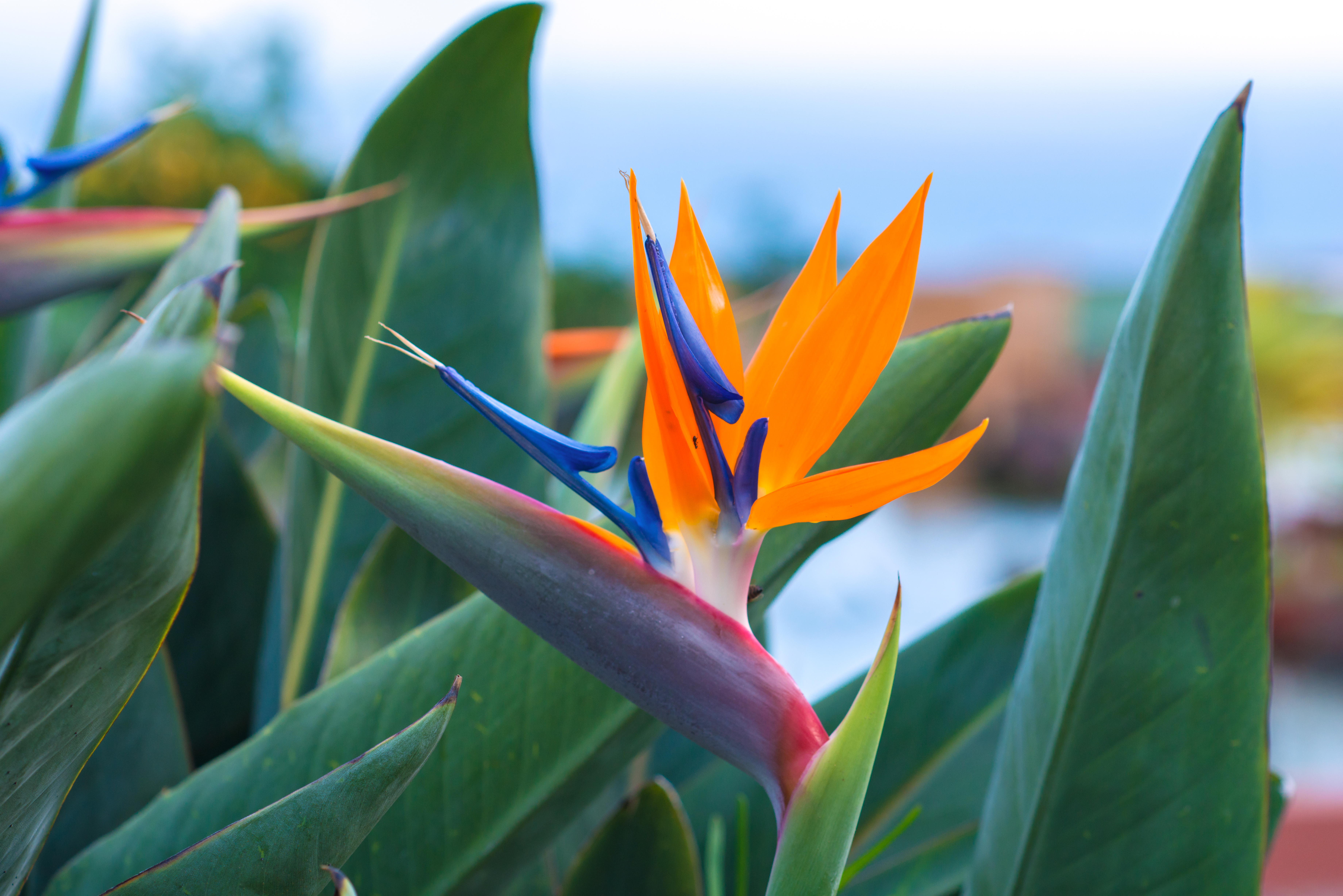 How To Keep A Bird Of Paradise Plant Alive Home Guides Sf Gate