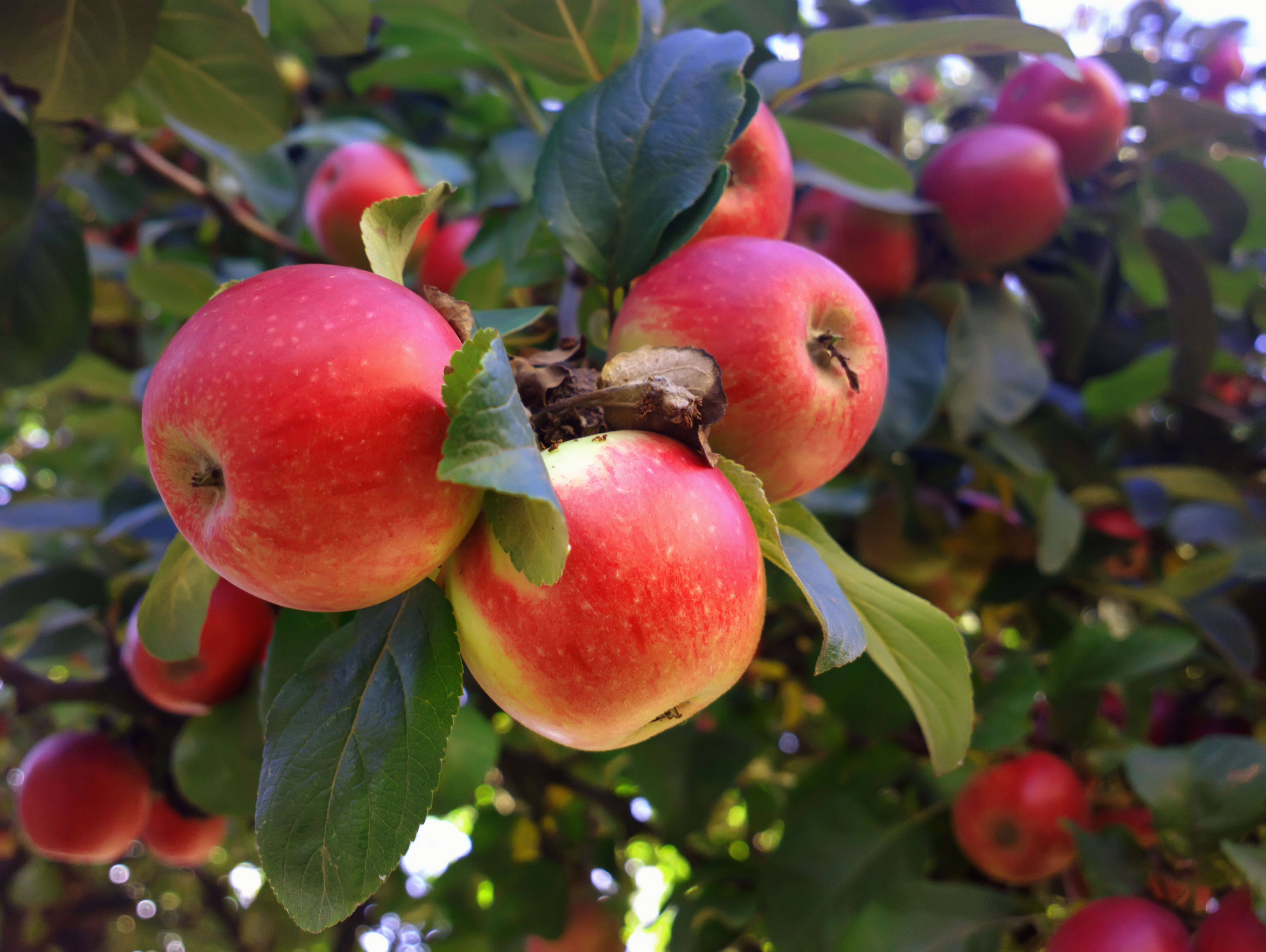 How To Grow An Apple Tree From A Cutting Home Guides Sf Gate