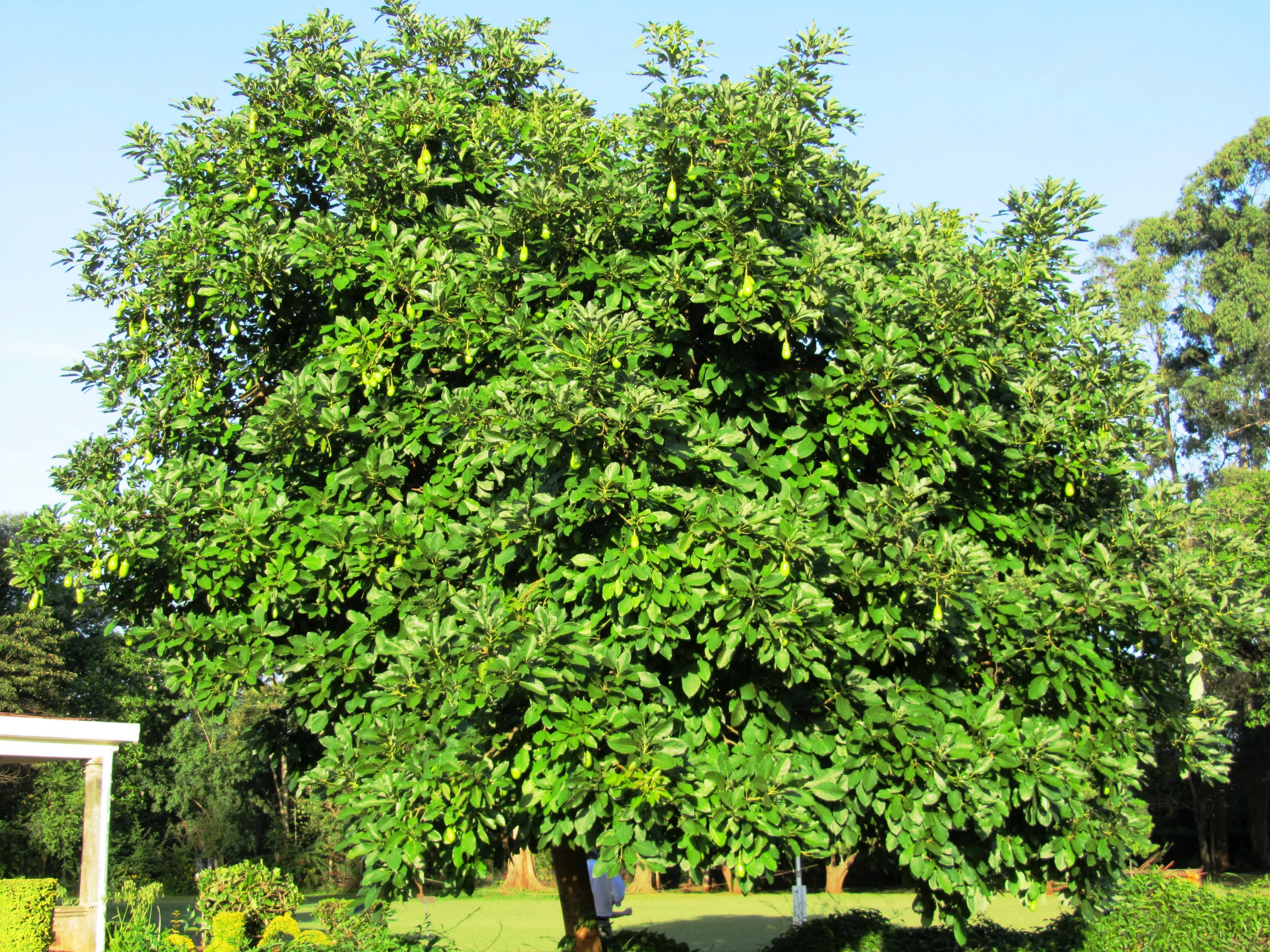 How to Grow an Avocado Tree   Hunker