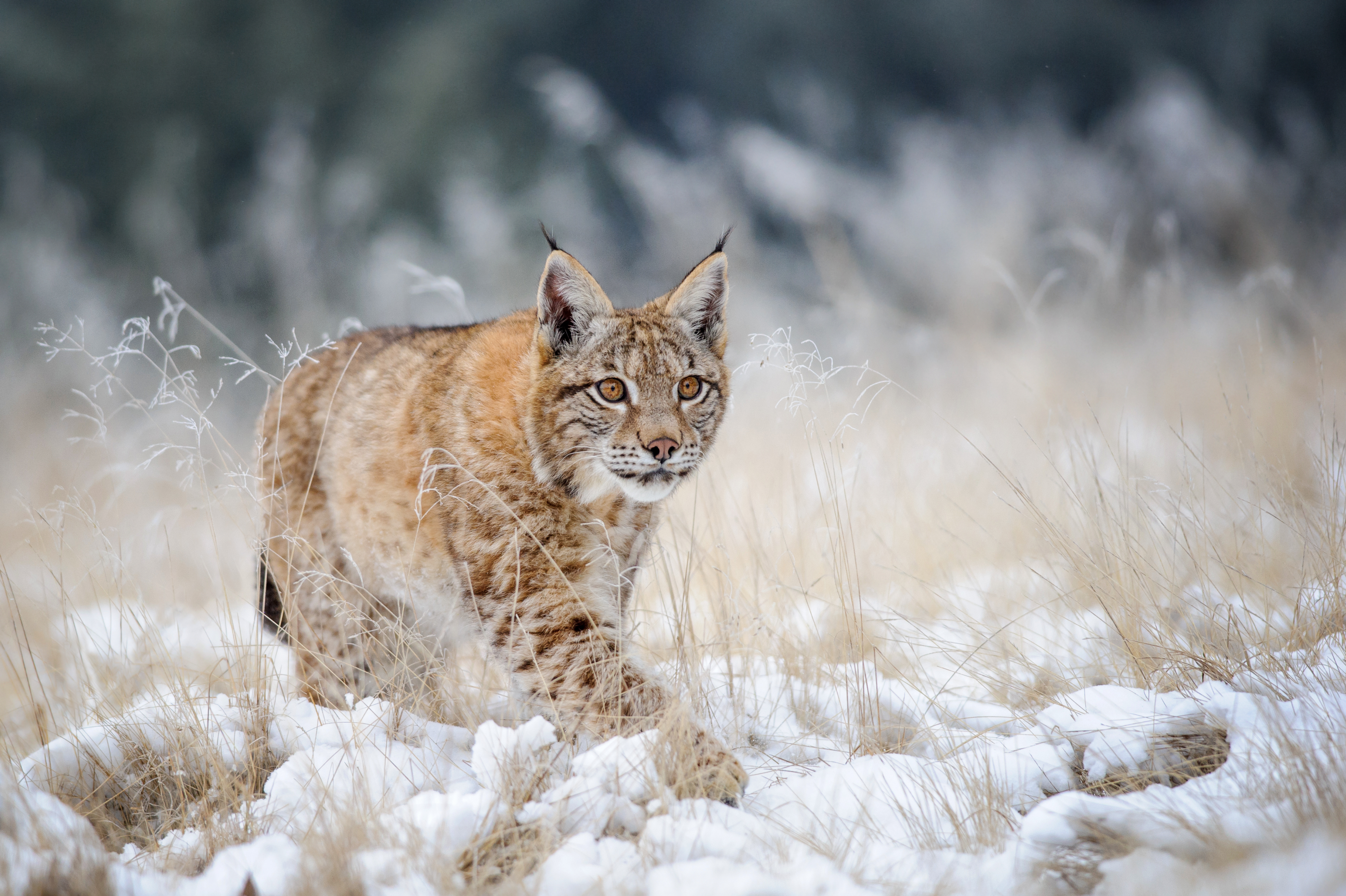 In What States Is It Legal to Own a Bobcat?