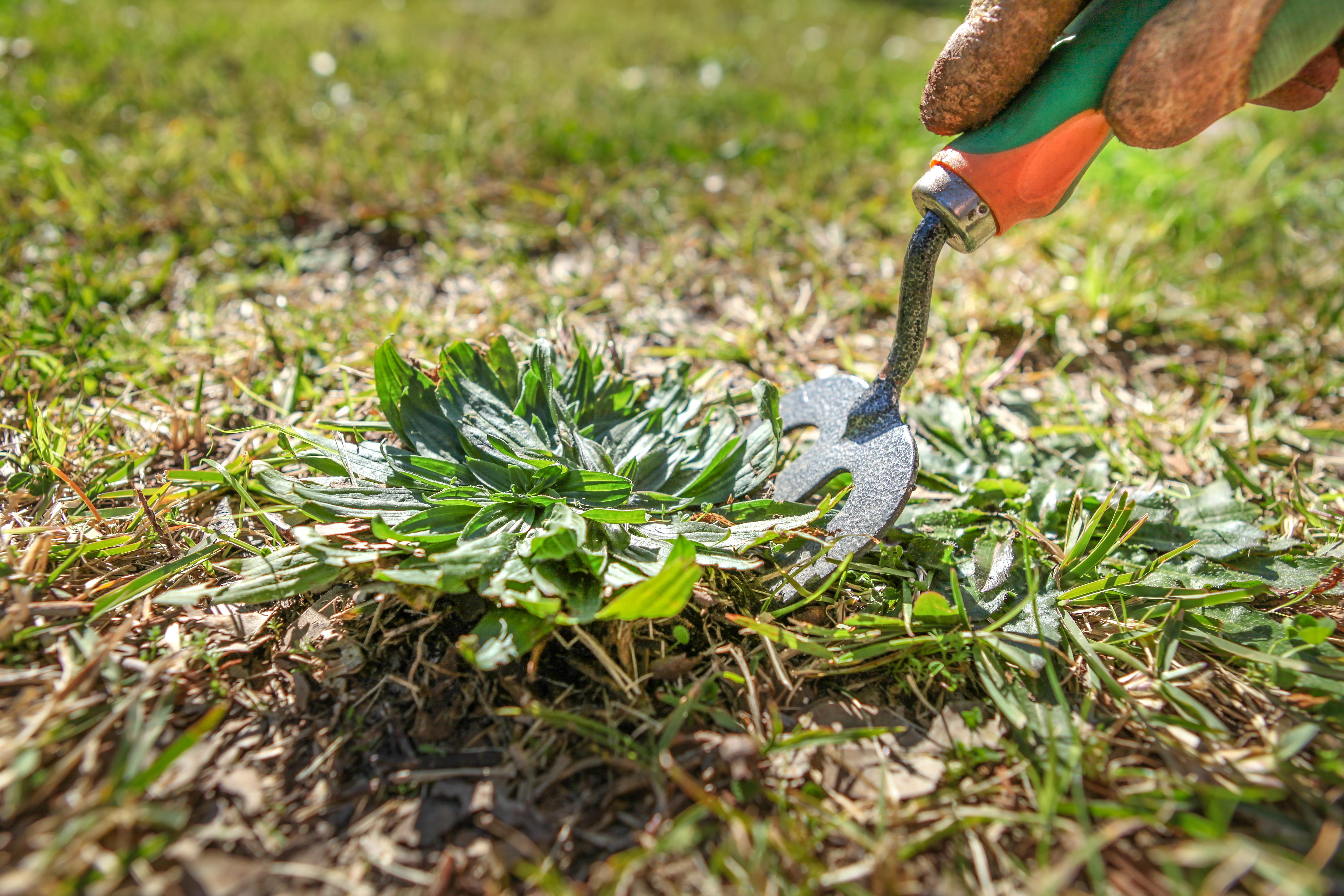 Over the counter chloroquine Giardia treat lawn Giardia treat lawn