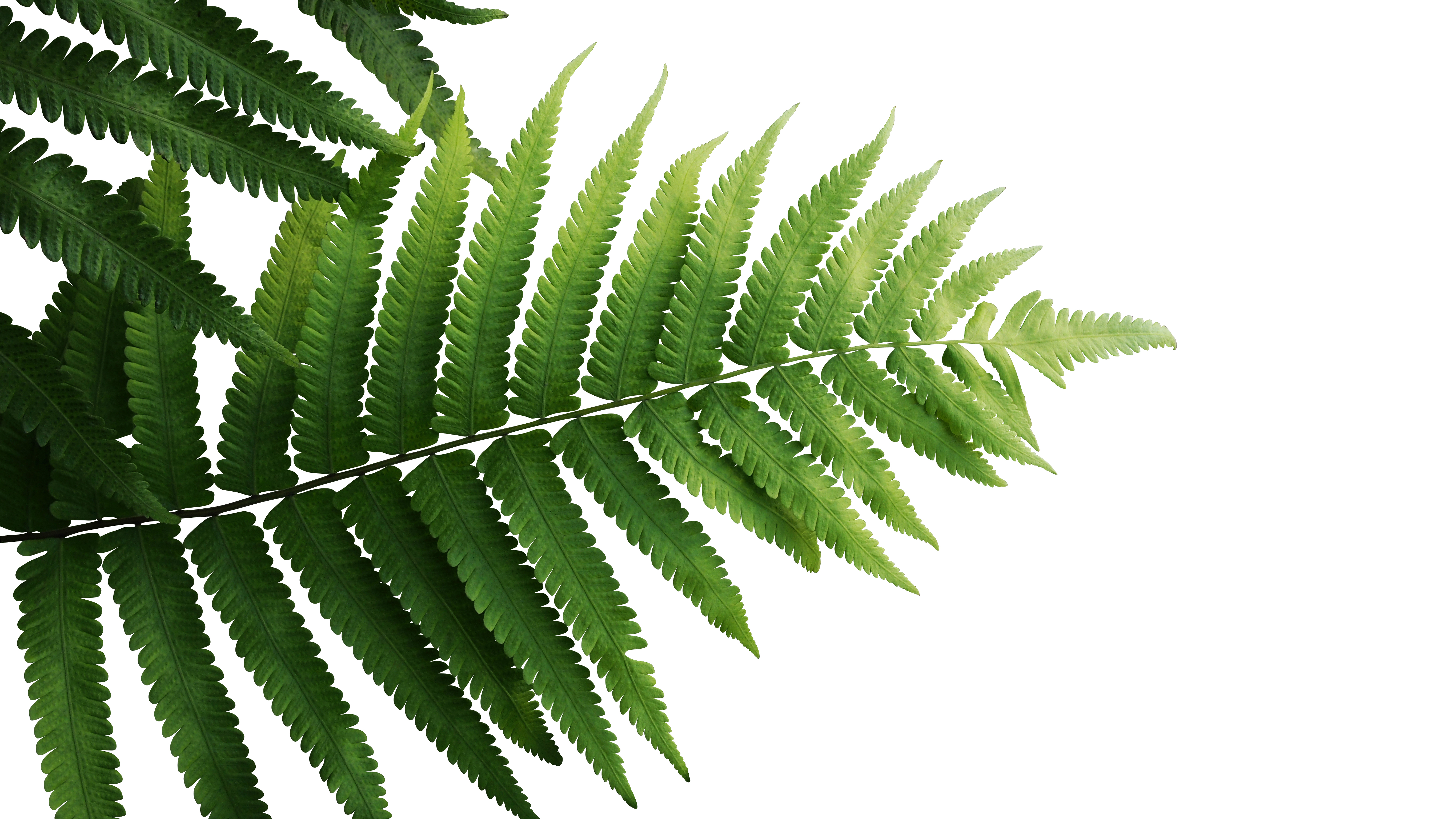 How To Take Care Of A Lemon Buttons Fern Nephrolepis Cordifolia