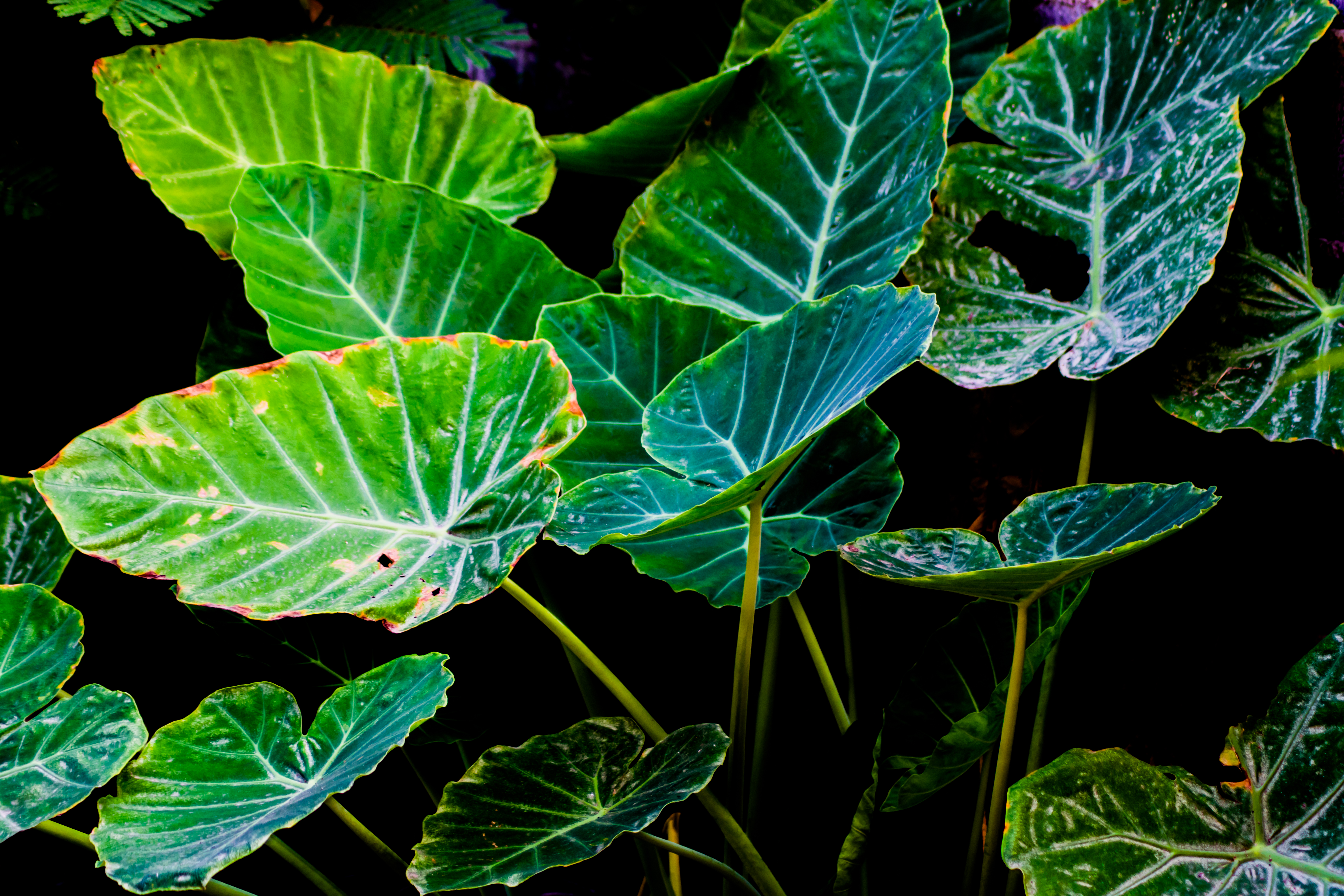 How To Cut Back An Elephant Ear Plant Hunker