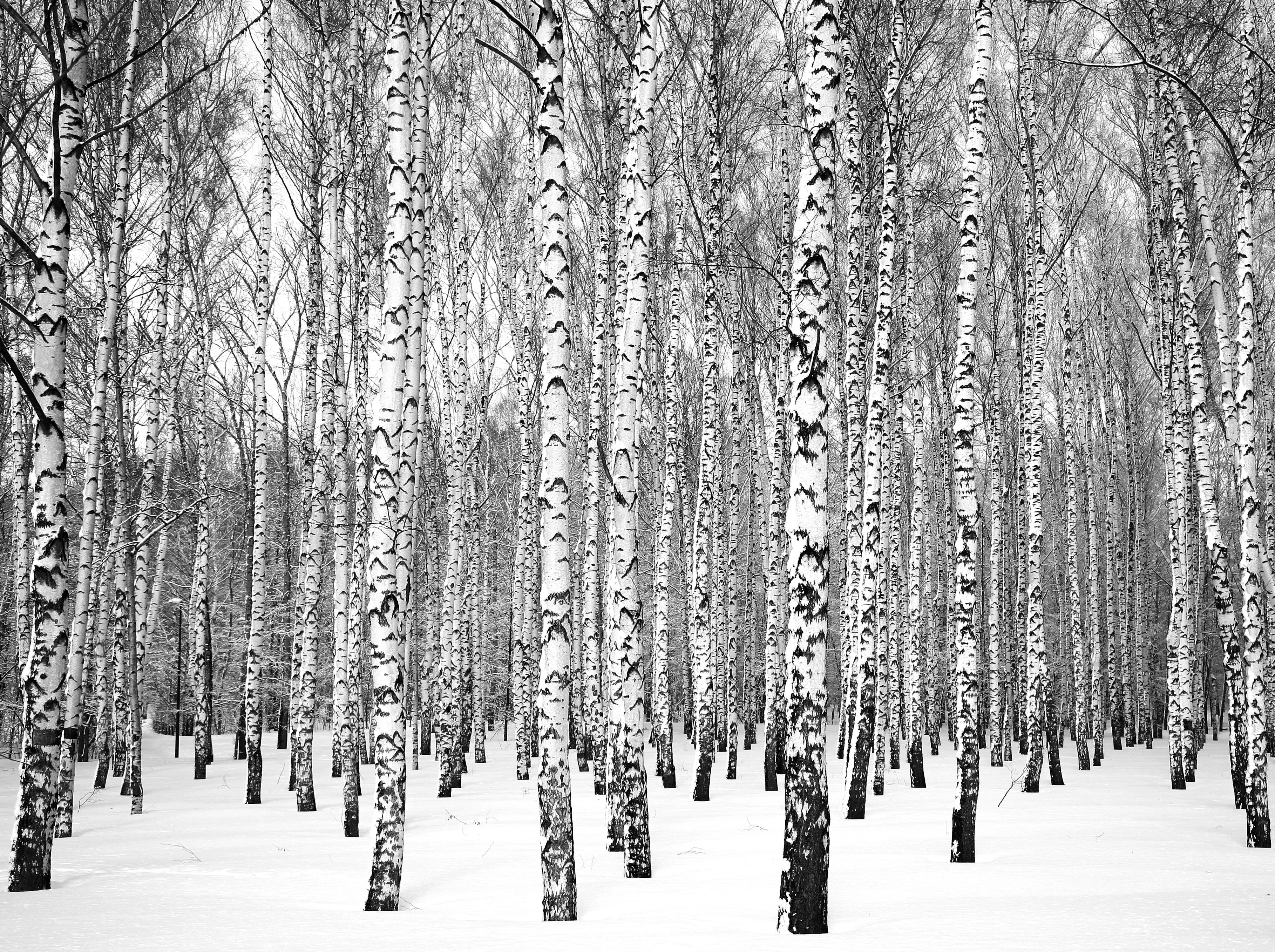 Hanging birch: description of species 94