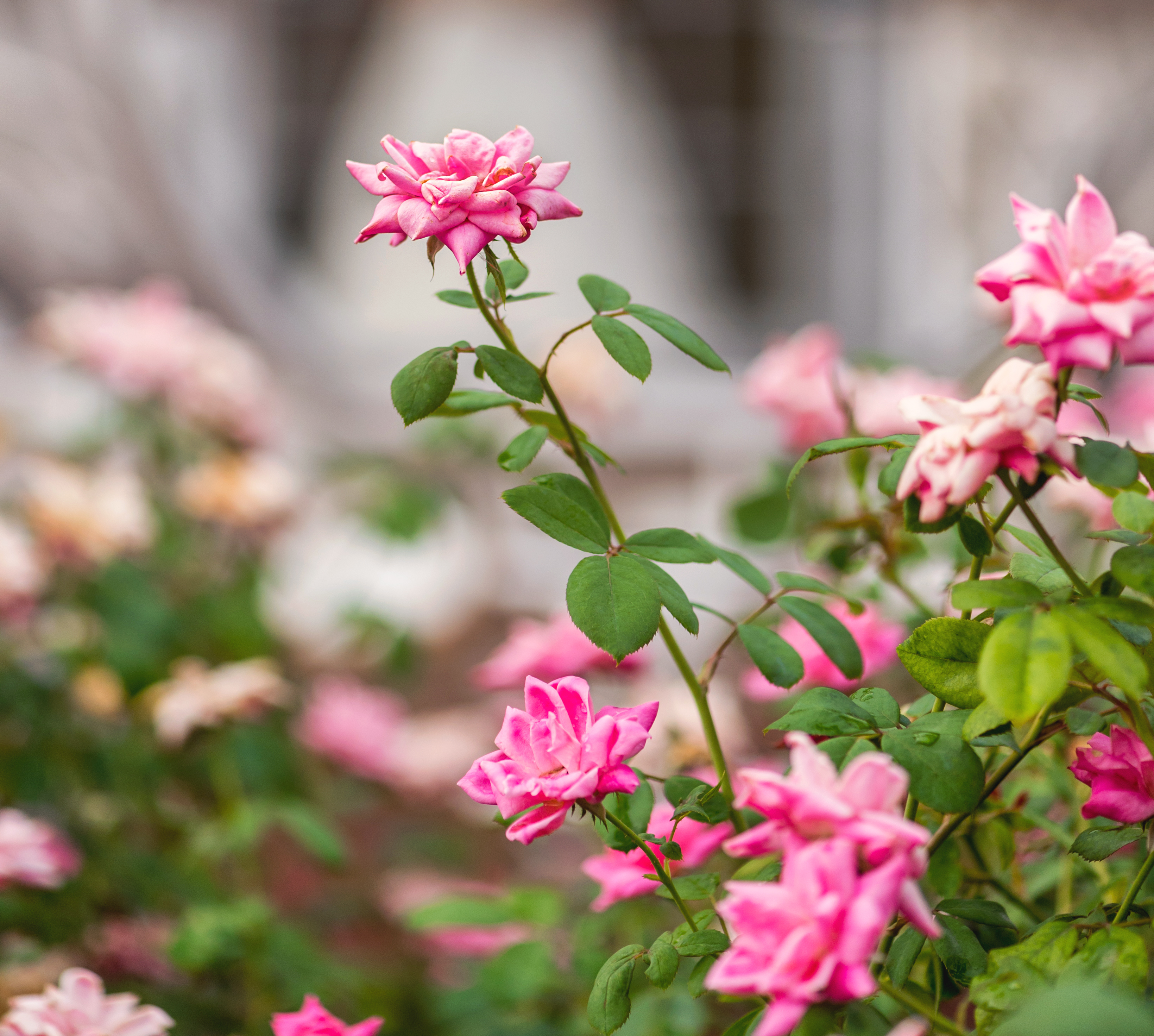 Overwatering Rose Bushes And Yellow Leaves Home Guides Sf Gate