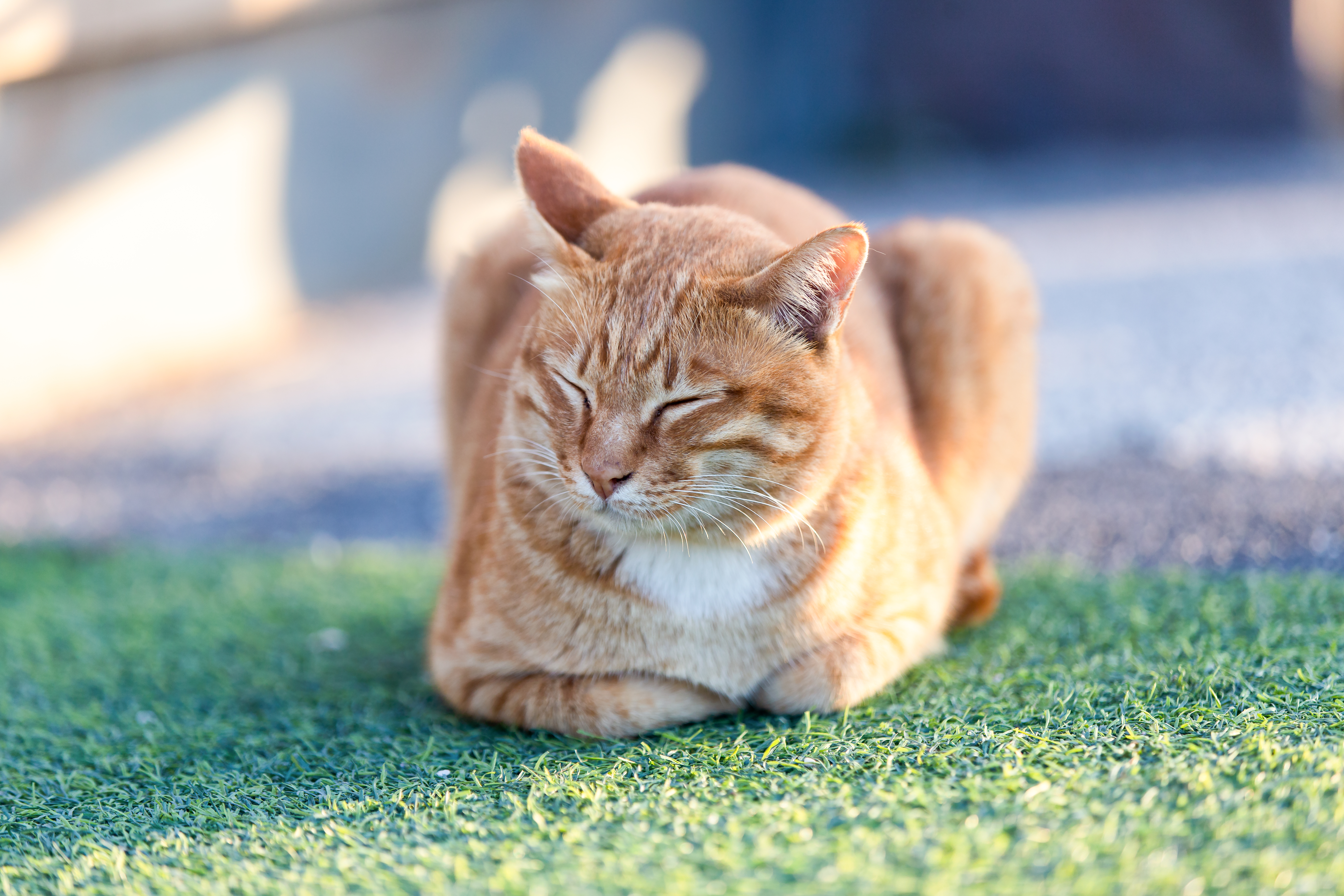 Do Cats Fart? These Signs & Symptoms Mean Your Flatulent