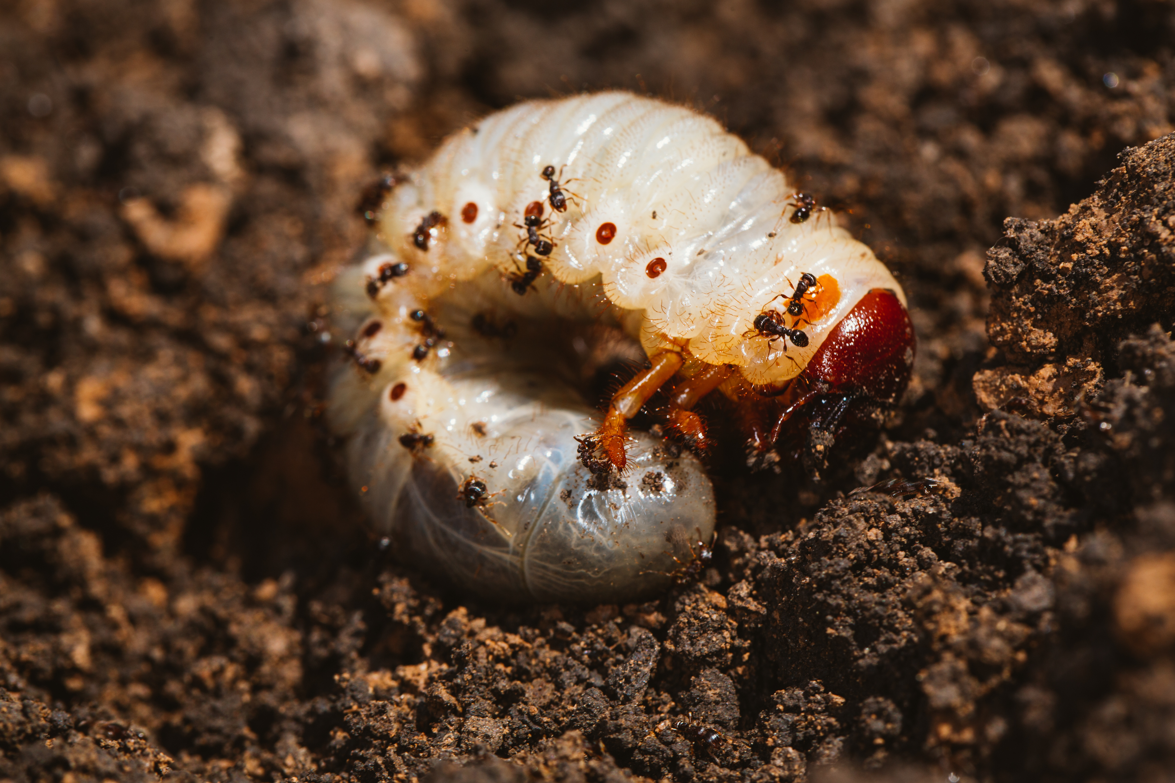 How To Kill Grub Worms With Dawn Soap Hunker