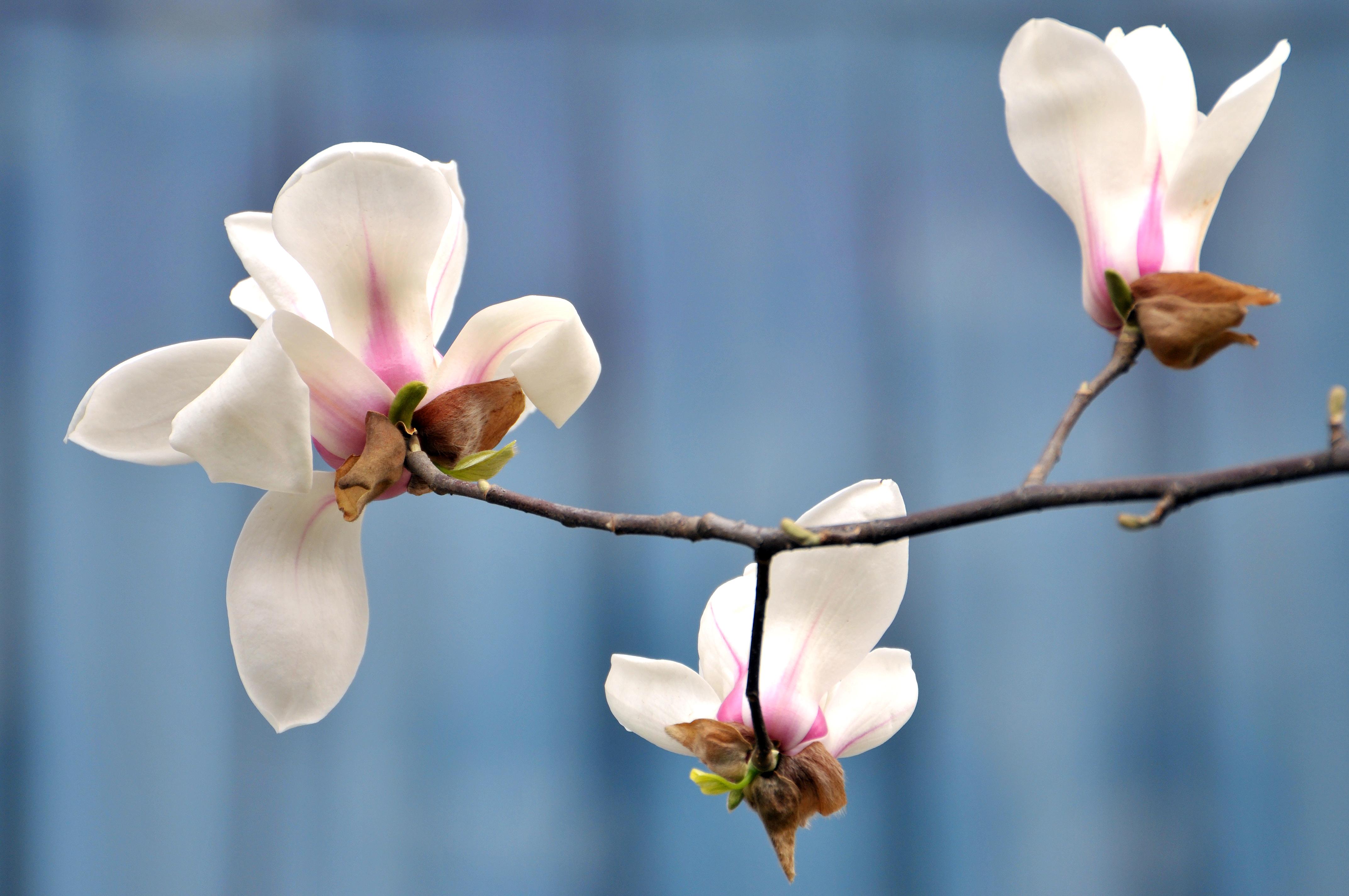 Magnolia Tree Leaf Fungus Home Guides Sf Gate