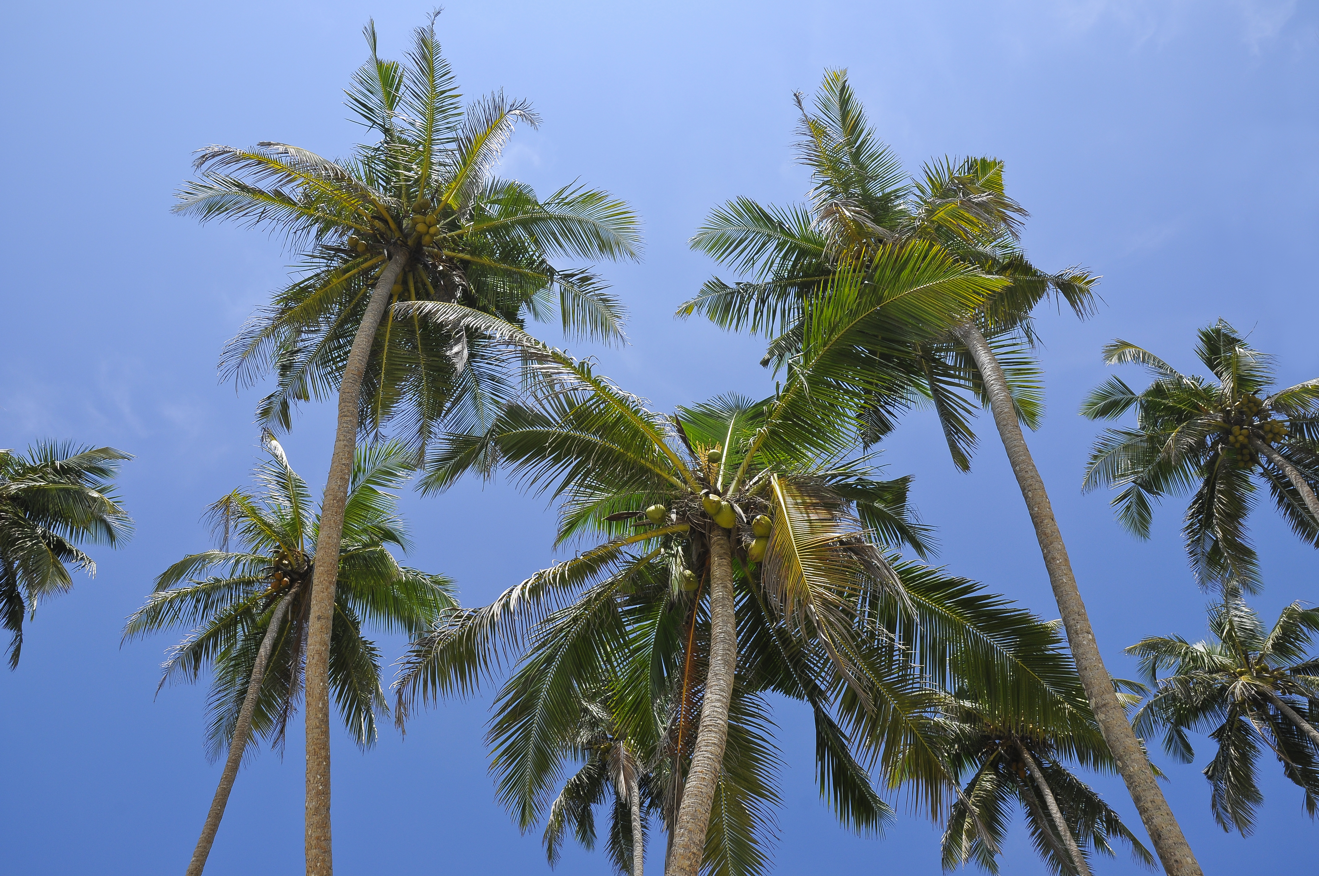 Description Of A Coconut Tree