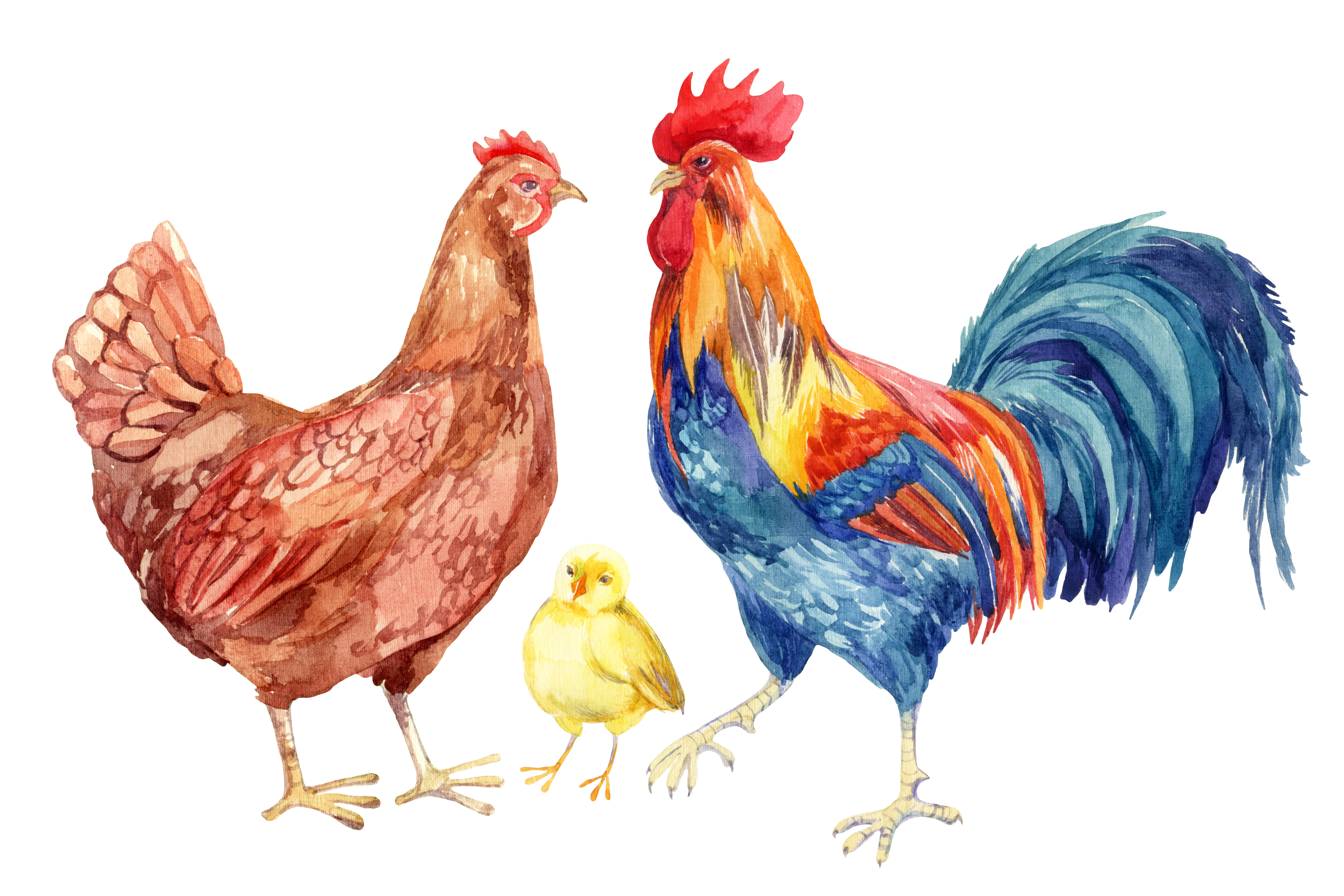 Mature poultry roosters