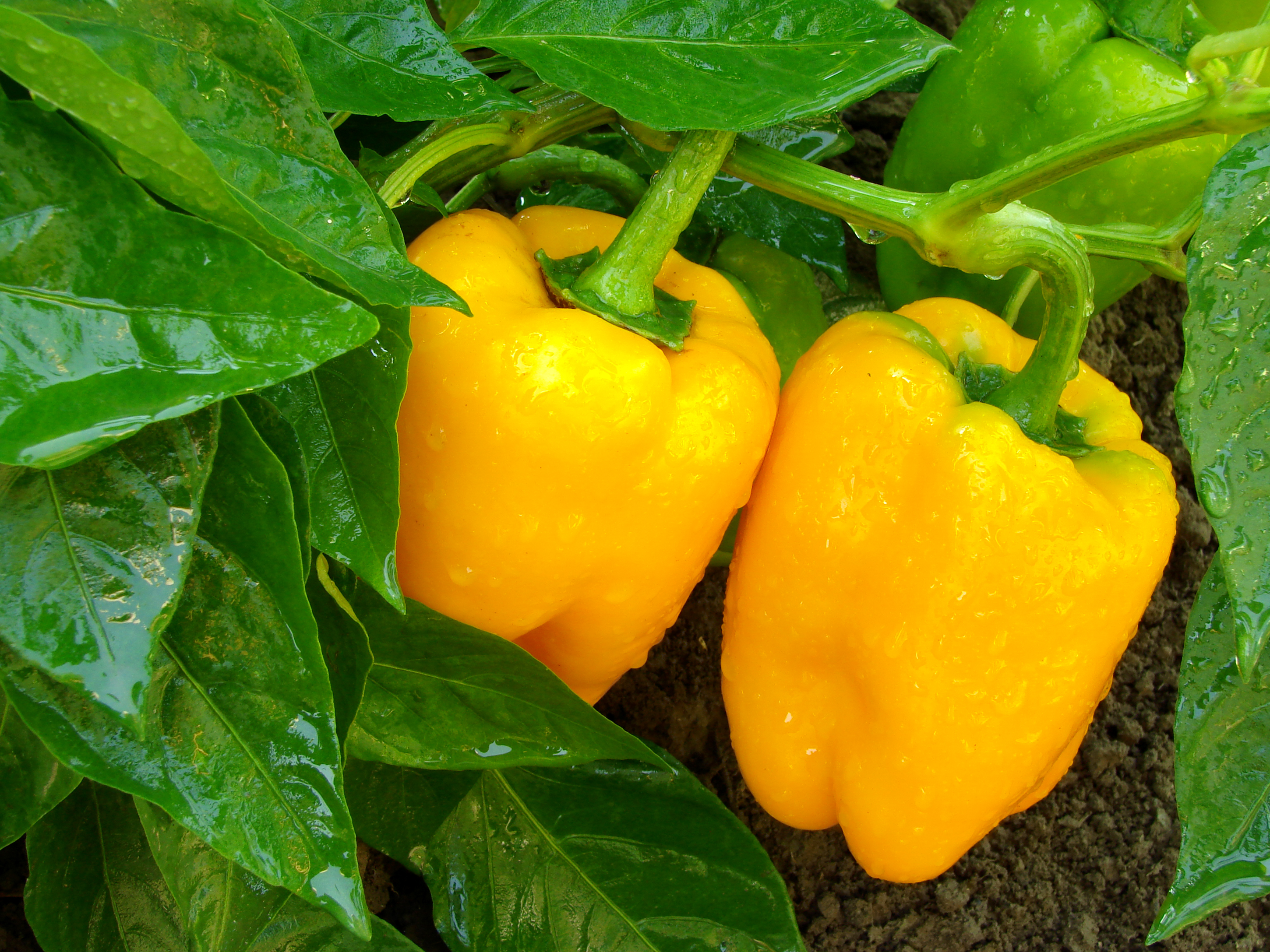 How to Keep Bugs Off of Bell Peppers | Home Guides | SF Gate