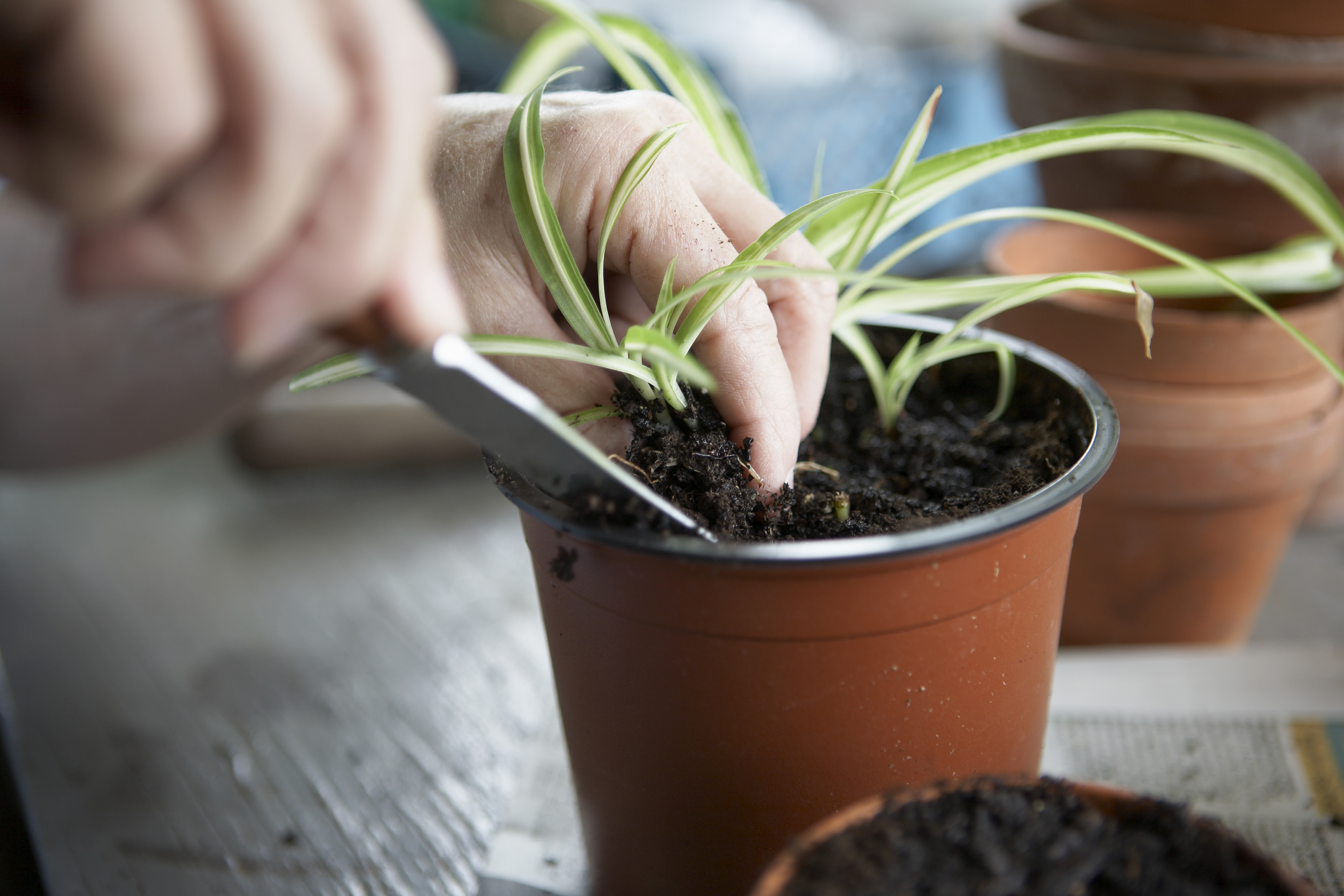 Rules for Repotting Spider Plants | Home Guides | SF Gate