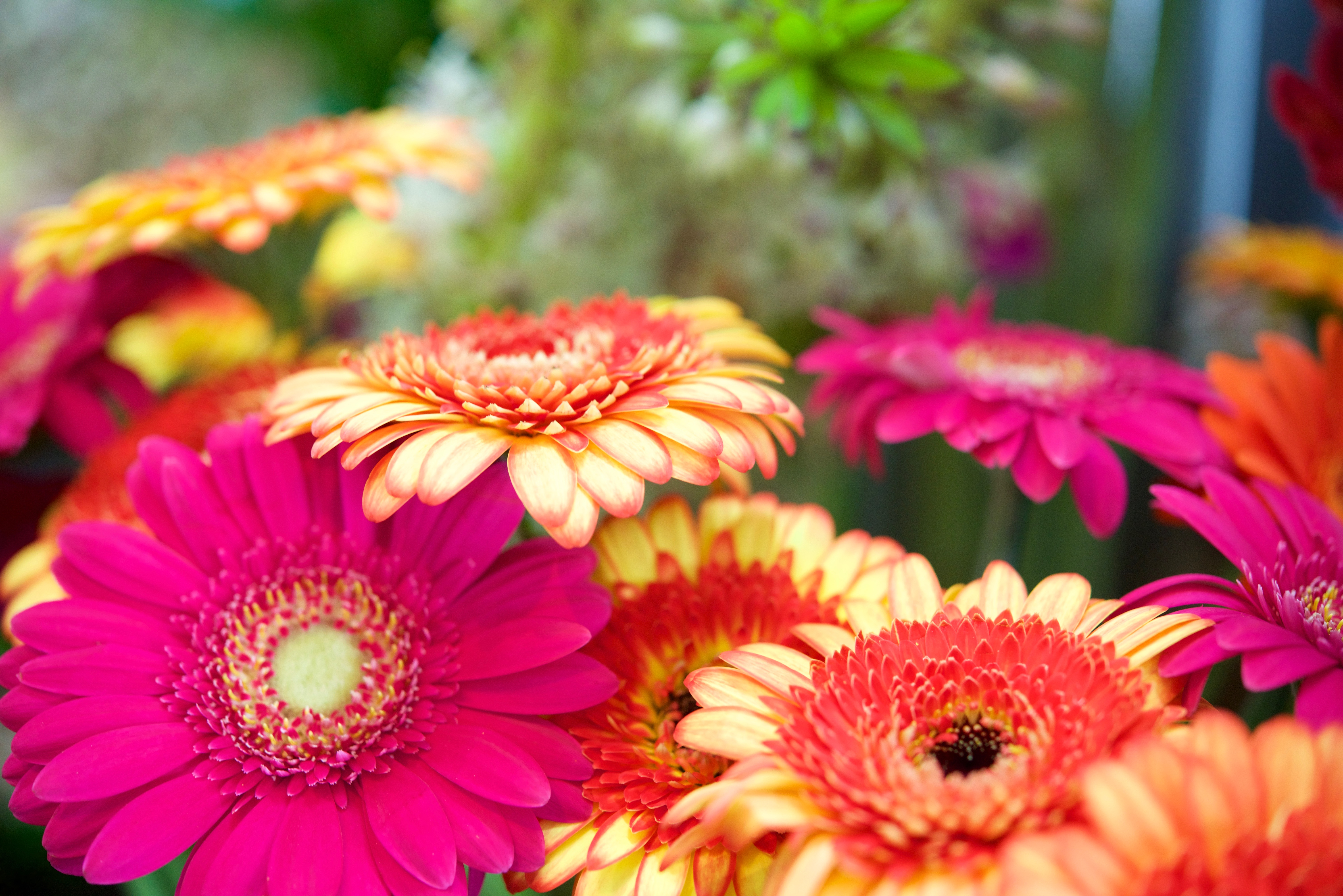 How to Care for Gerbera Daisies Inside   Home Guides   SF Gate Colorful House Plants For Shade Html on flowers for shade, colorful trees, colorful drought tolerant plants, colorful orchids, colorful plants for shady areas, flowers that thrive in shade, colorful container plants, fruit trees for shade, colorful vegetables, colorful foliage, colorful potted plants, colorful plants for landscaping, colorful raindrops, palm trees for shade, colorful tropical plants, colorful succulents, colorful perennials, colorful florida plants, colorful air plants, colorful evergreen plants,