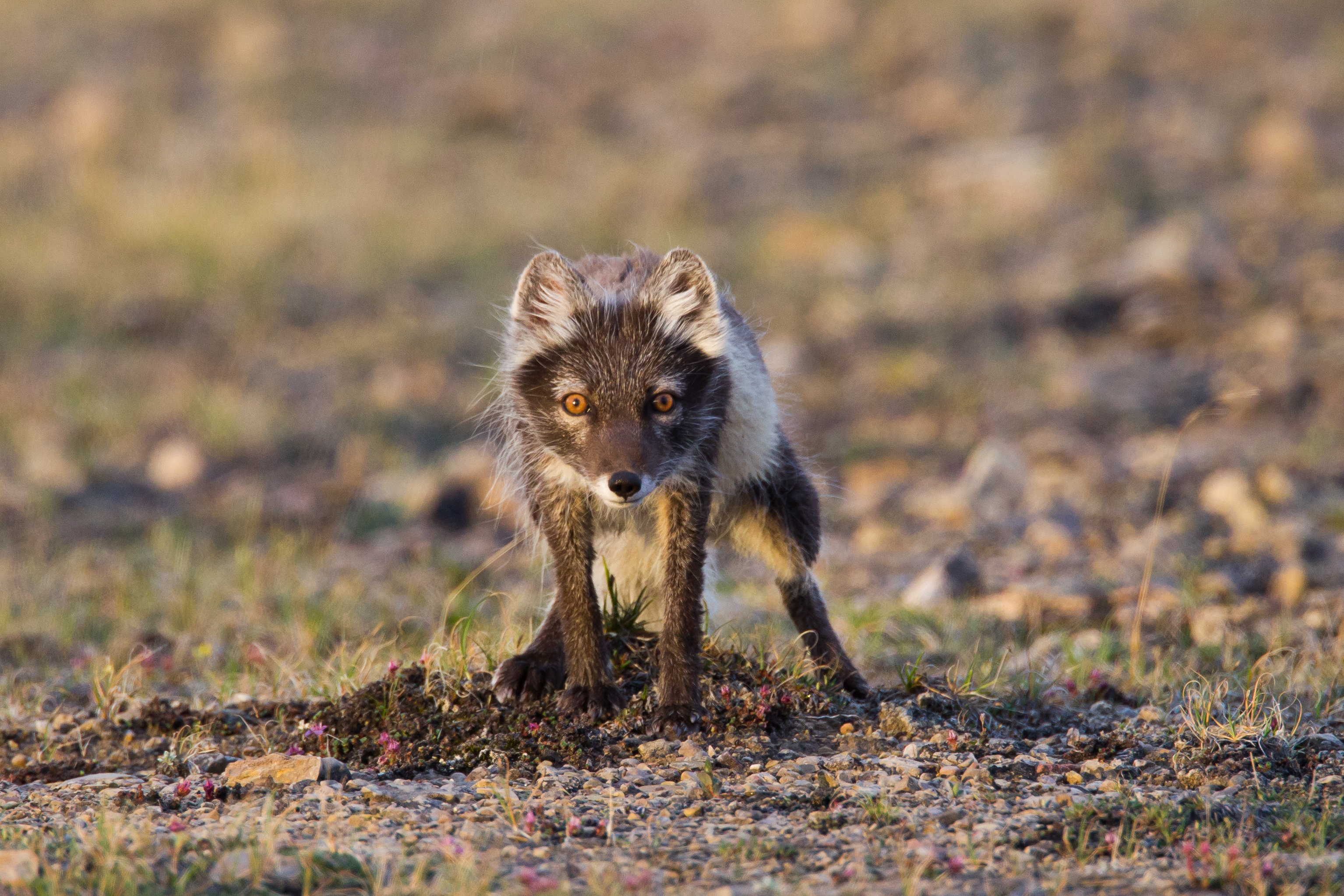 Animals in the tundra. What animals live in the tundra 21