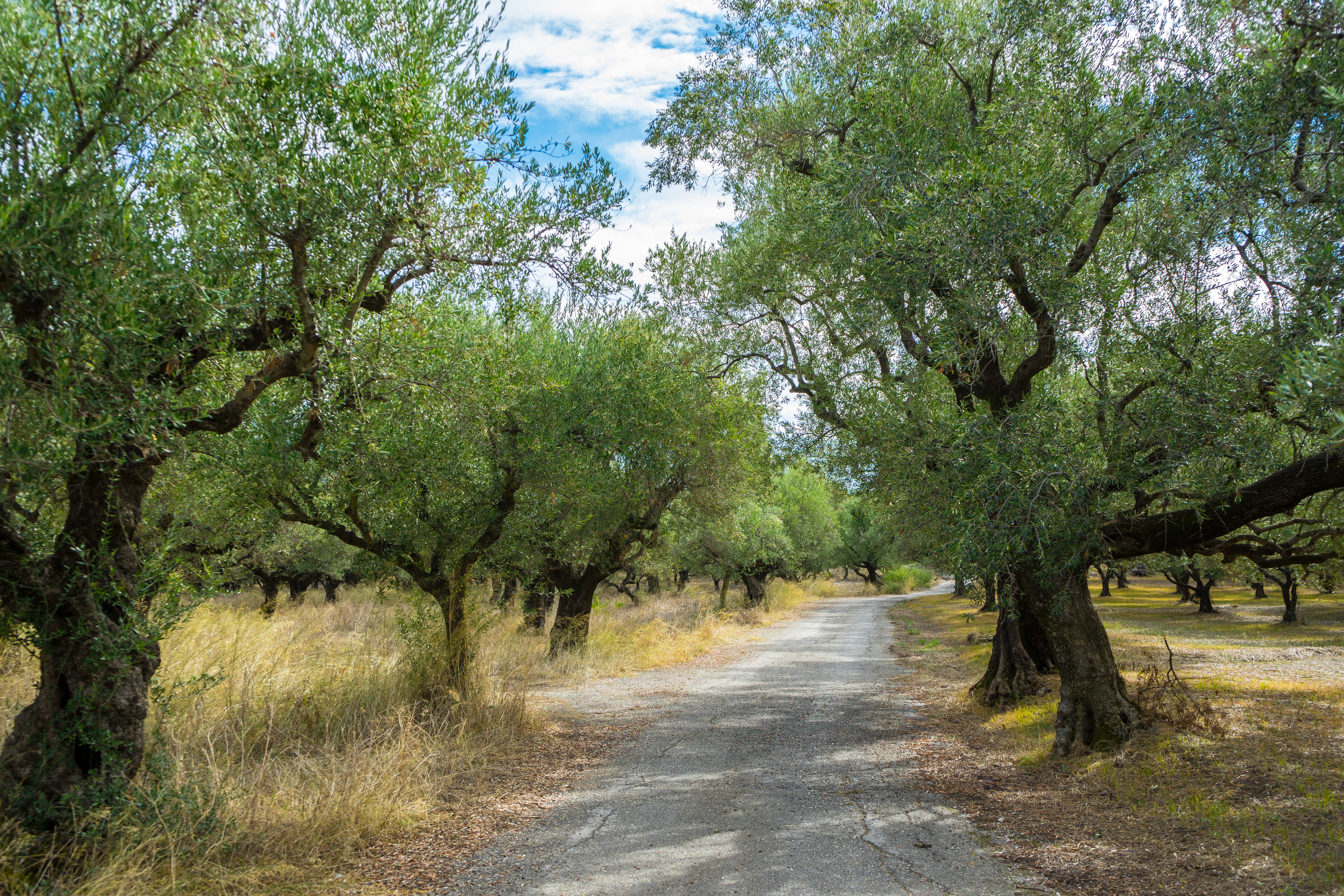 Olive Tree Leaves Are Dry & Falling Off | Home Guides | SF Gate