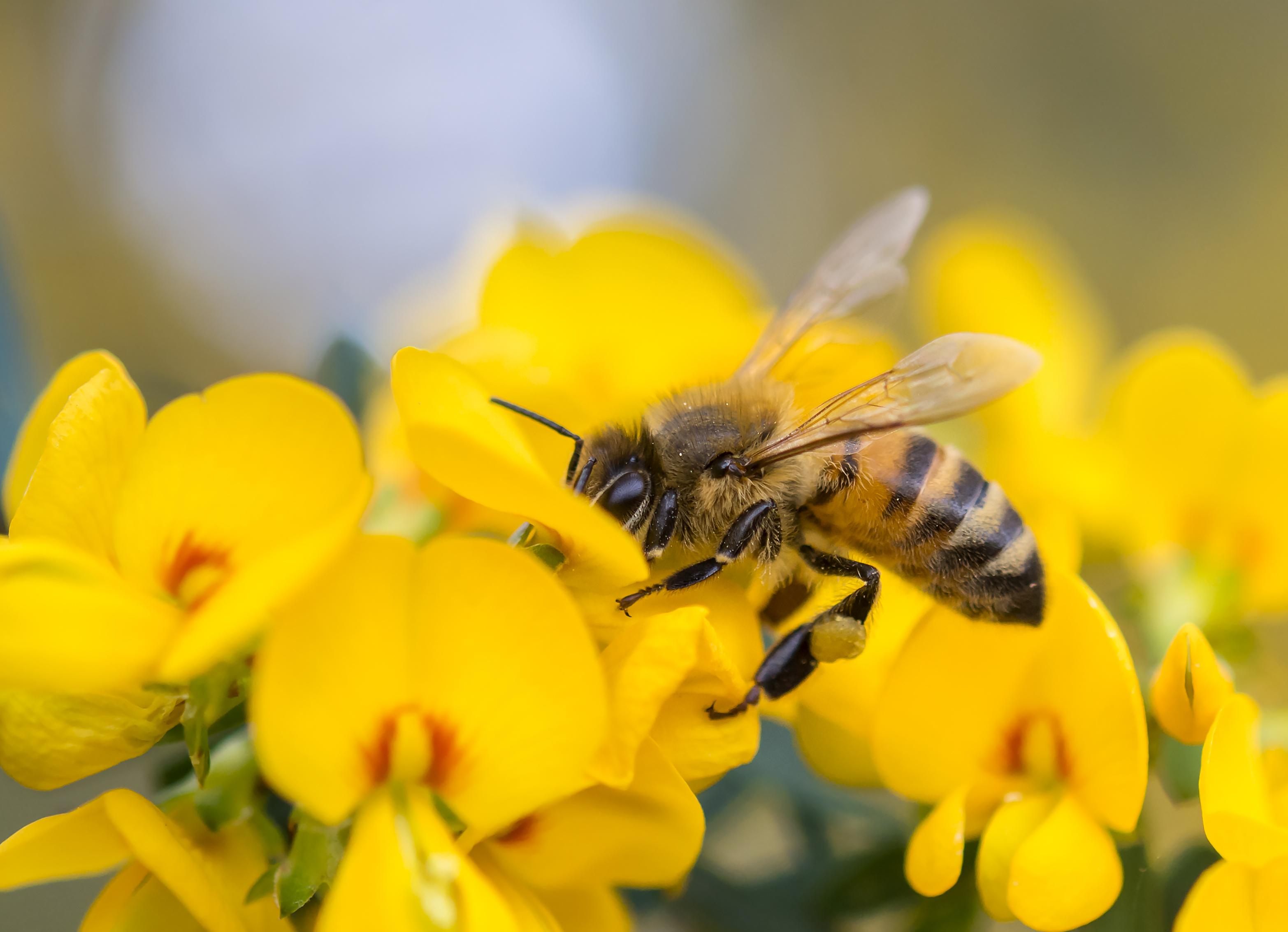 Advantages & Disadvantages of Honeybees