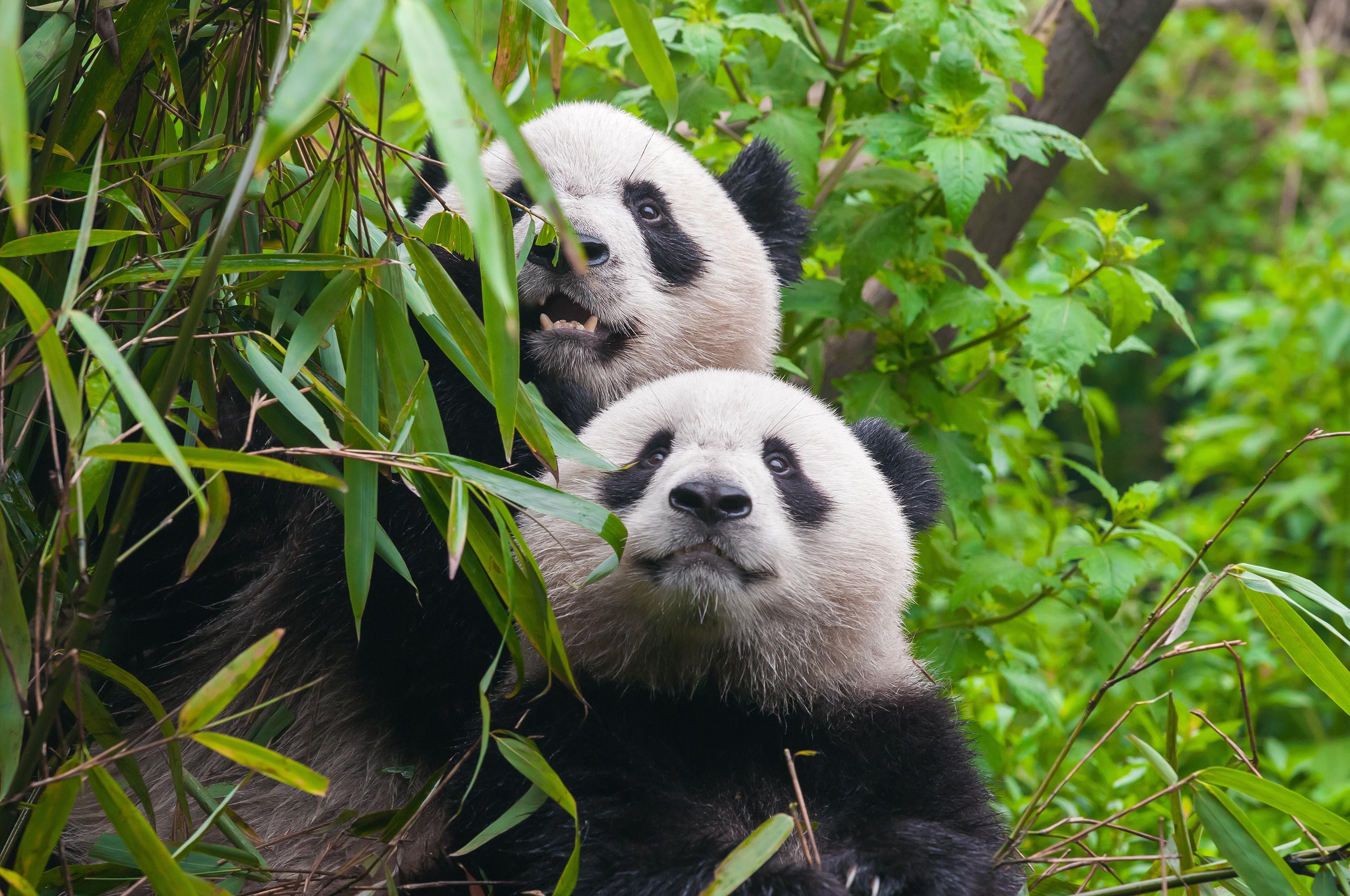 How to Save Endangered Pandas
