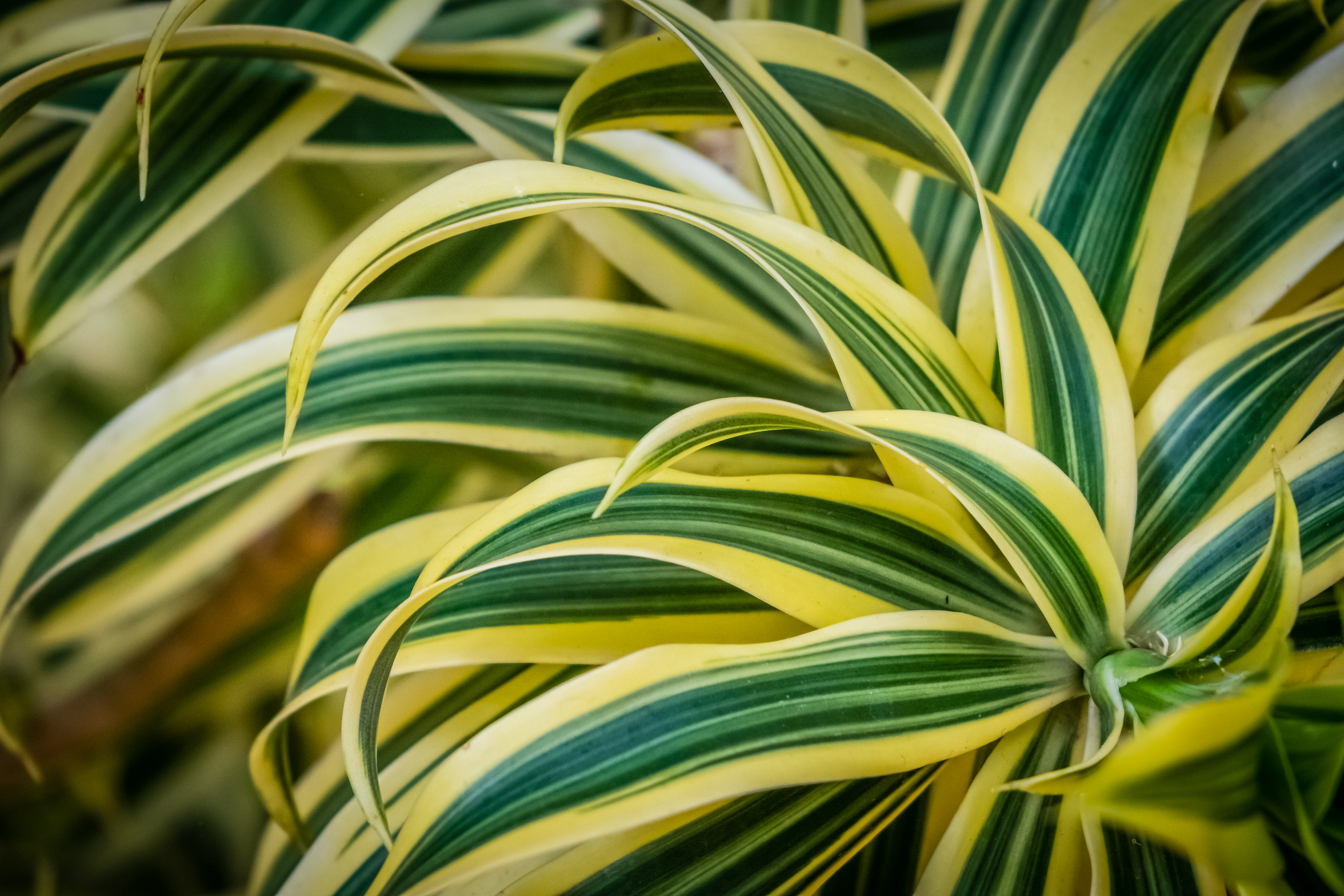 How to Plant Dracaena Outdoors | Home Guides | SF Gate