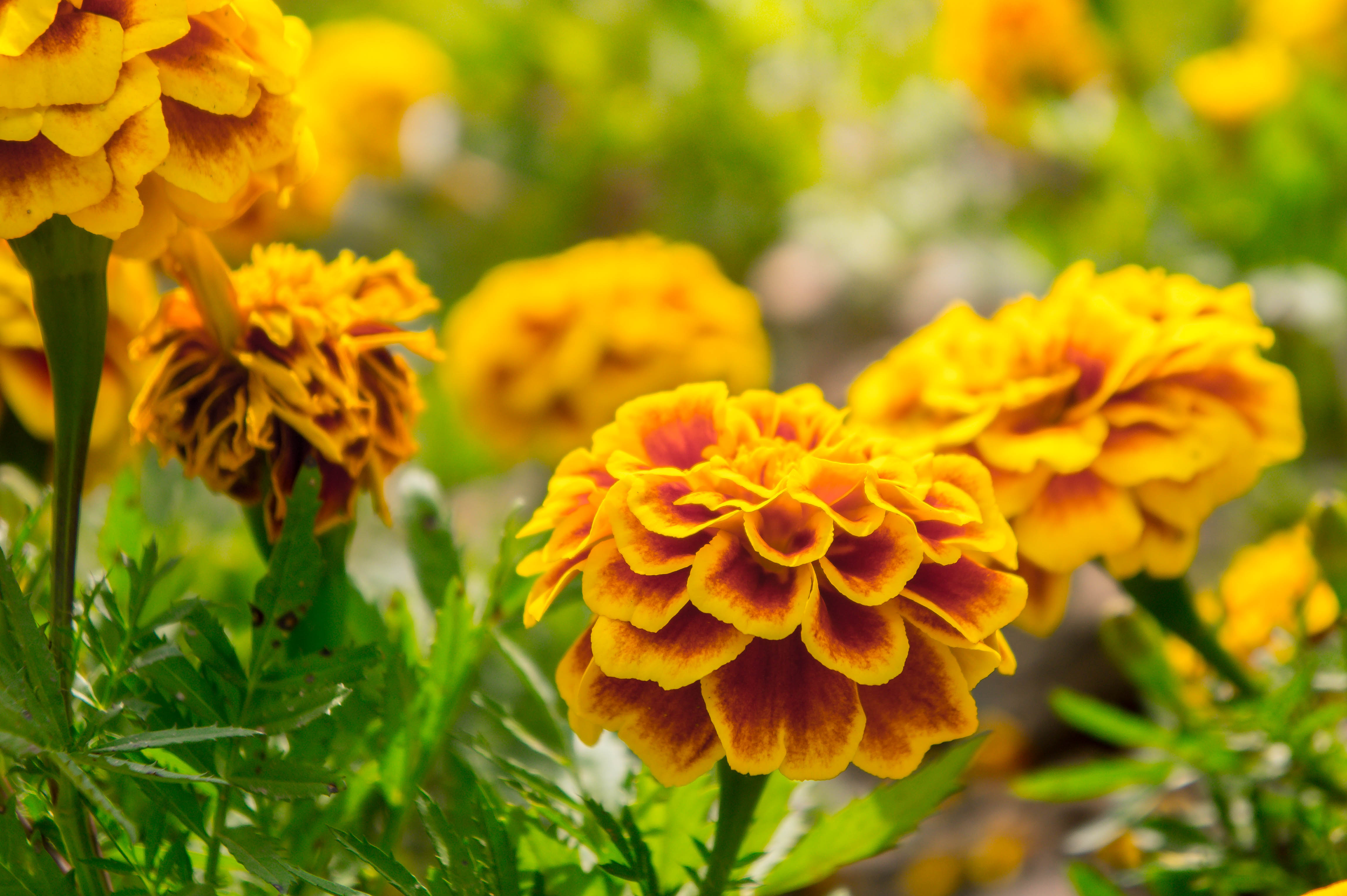 How To Plant Marigolds In Vegetable Gardens Home Guides Sf Gate