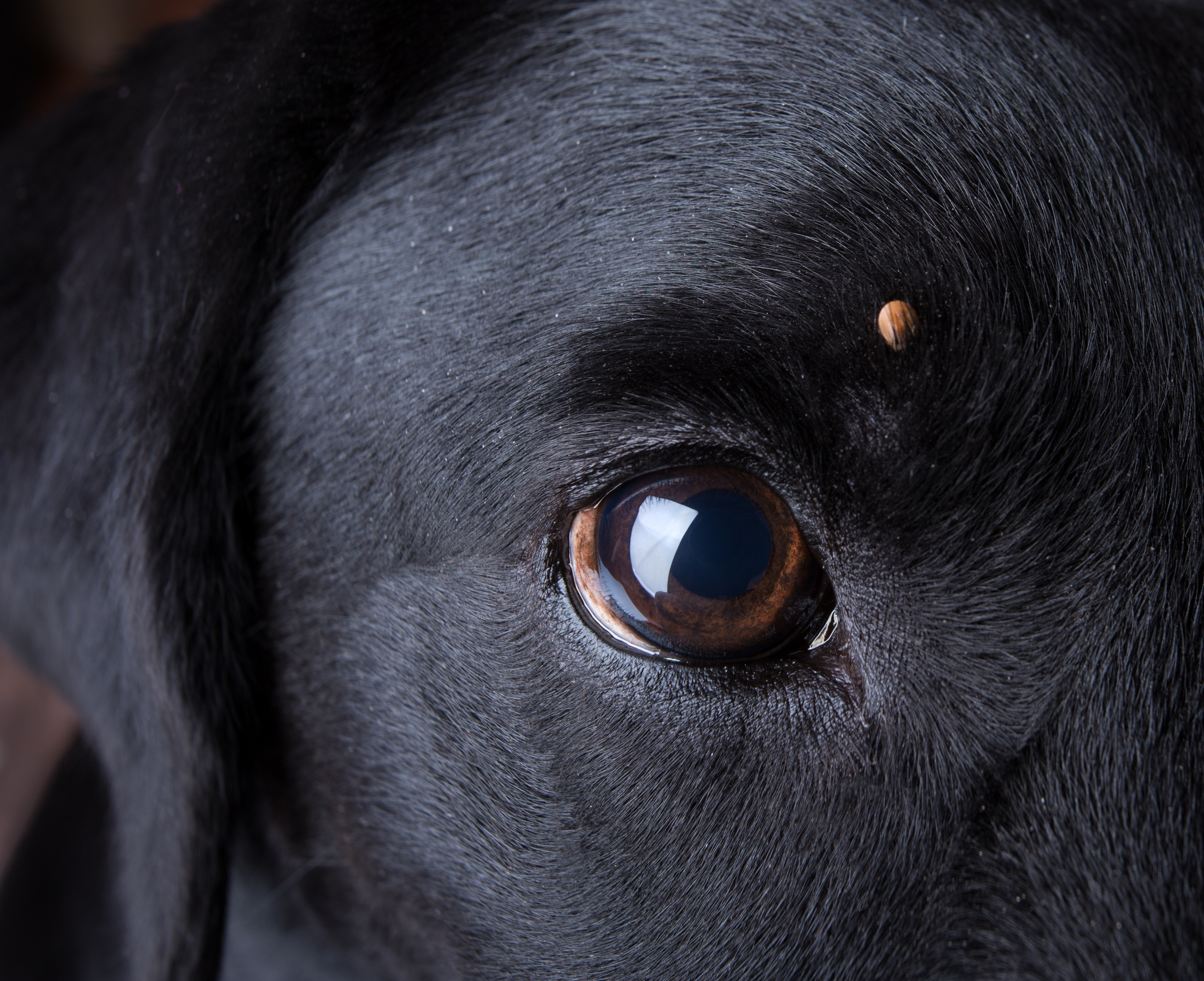 Babesia In Dogs: Symptoms, Causes, Diagnosis, Treatment Of