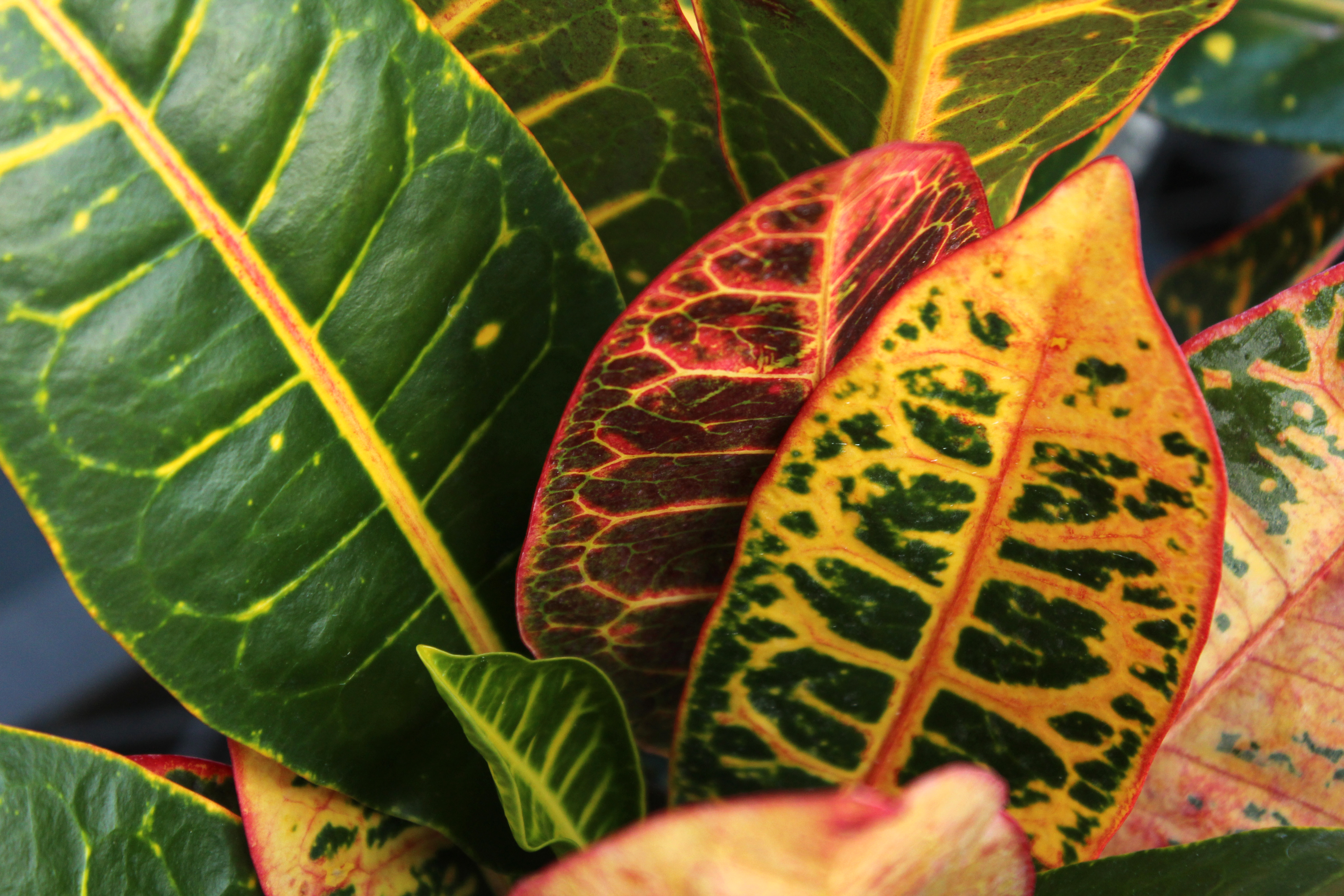 How to Care for a Croton Petra | Home Guides | SF Gate House Plants With Names And Description Html on