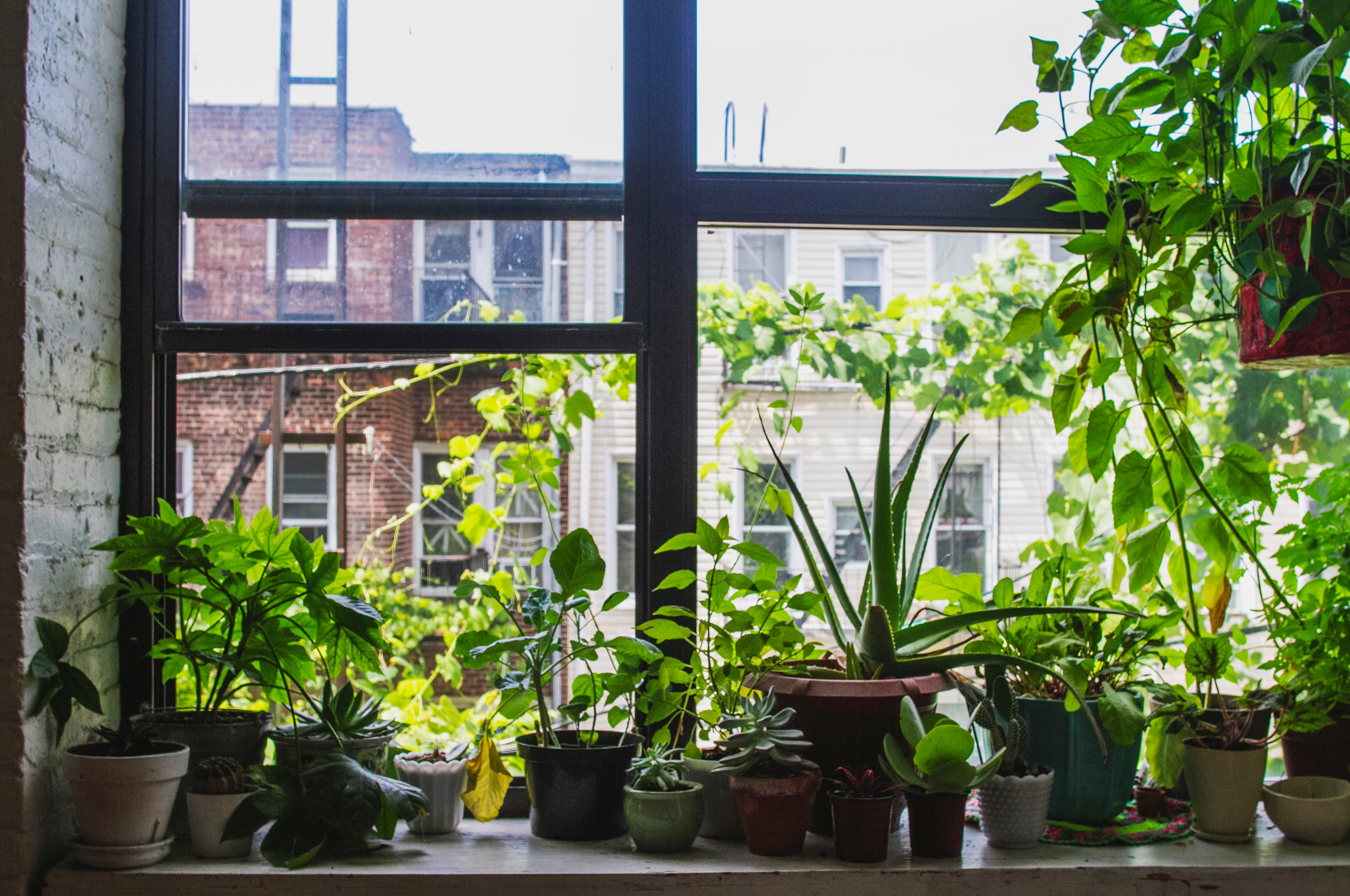 How to Care for Dracaena House Plants | Home Guides | SF Gate Grow Light Indoor House Plant Html on indoor orange tree leaf, boston fern care indoor plant light, 3 tier plant stand grow light, indoor plants grow without soil, indoor house plants trees, dracaena house plant low light, indoor plants that can grow in water, indoor houseplants fern, indoor green plants with heart shaped leaves, indoor green plant name,