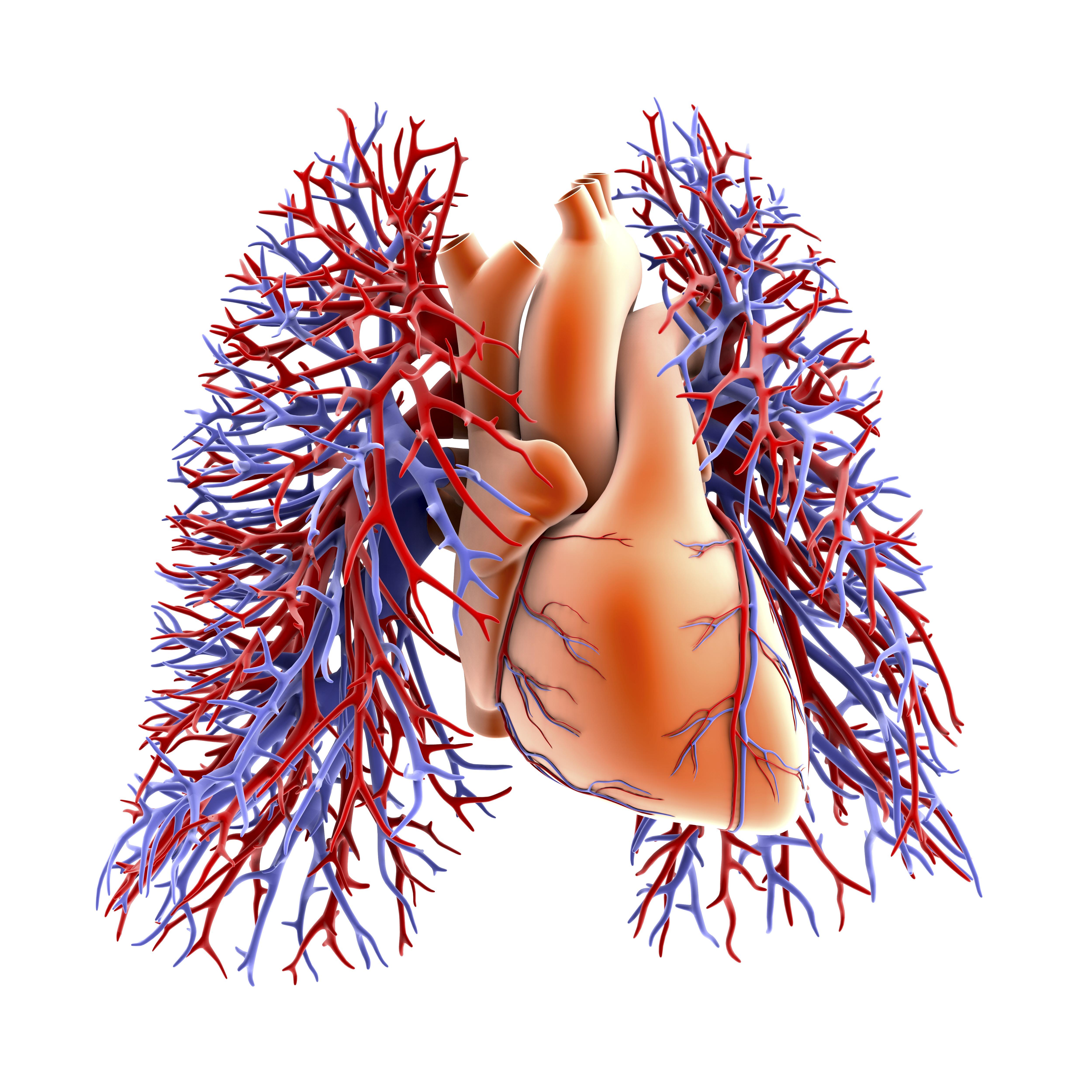 Circuito Sanguineo : Funciones del sistema circulatorio humano muy fitness