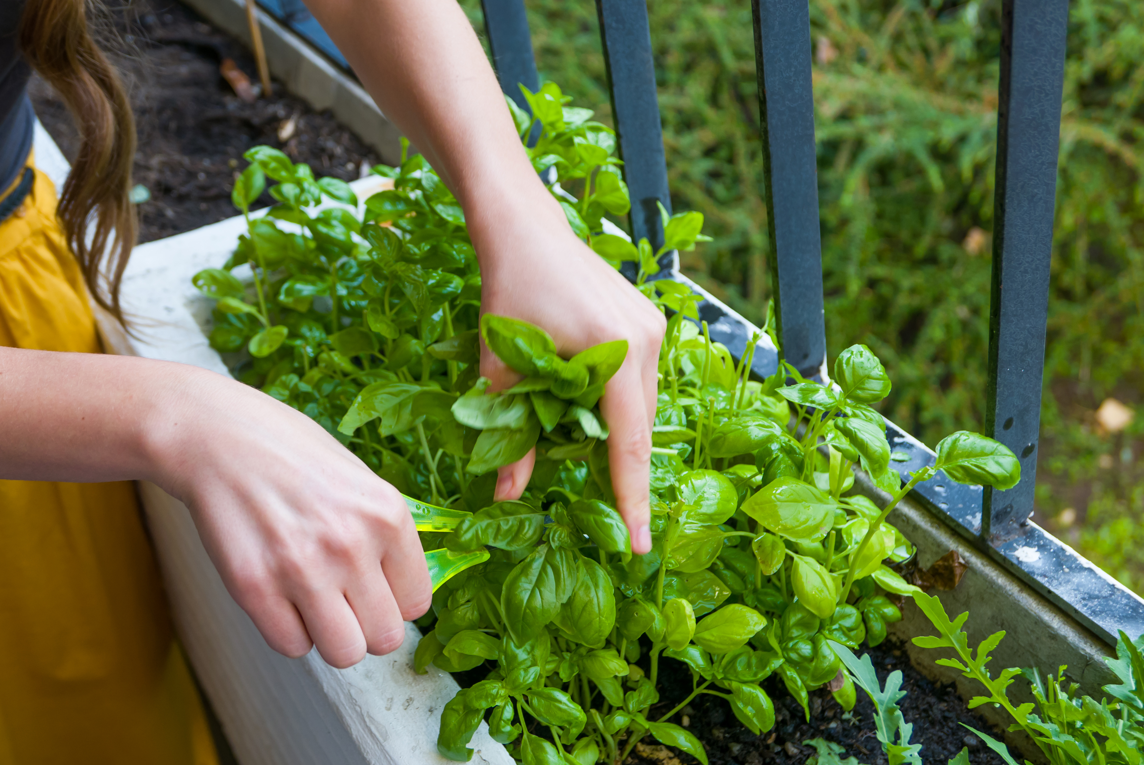 How Long Does it Take for Basil to Grow True Leaves? | Home